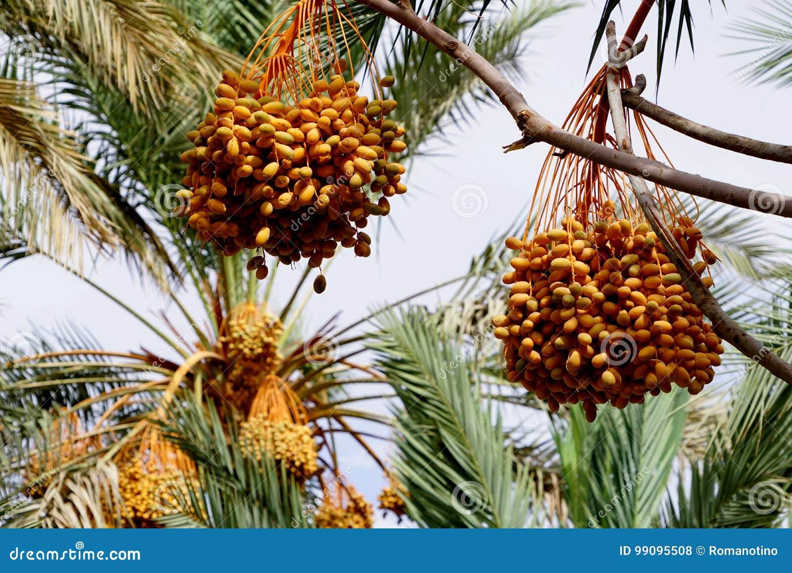 成熟在一棵棕榈树的日期在摩洛哥