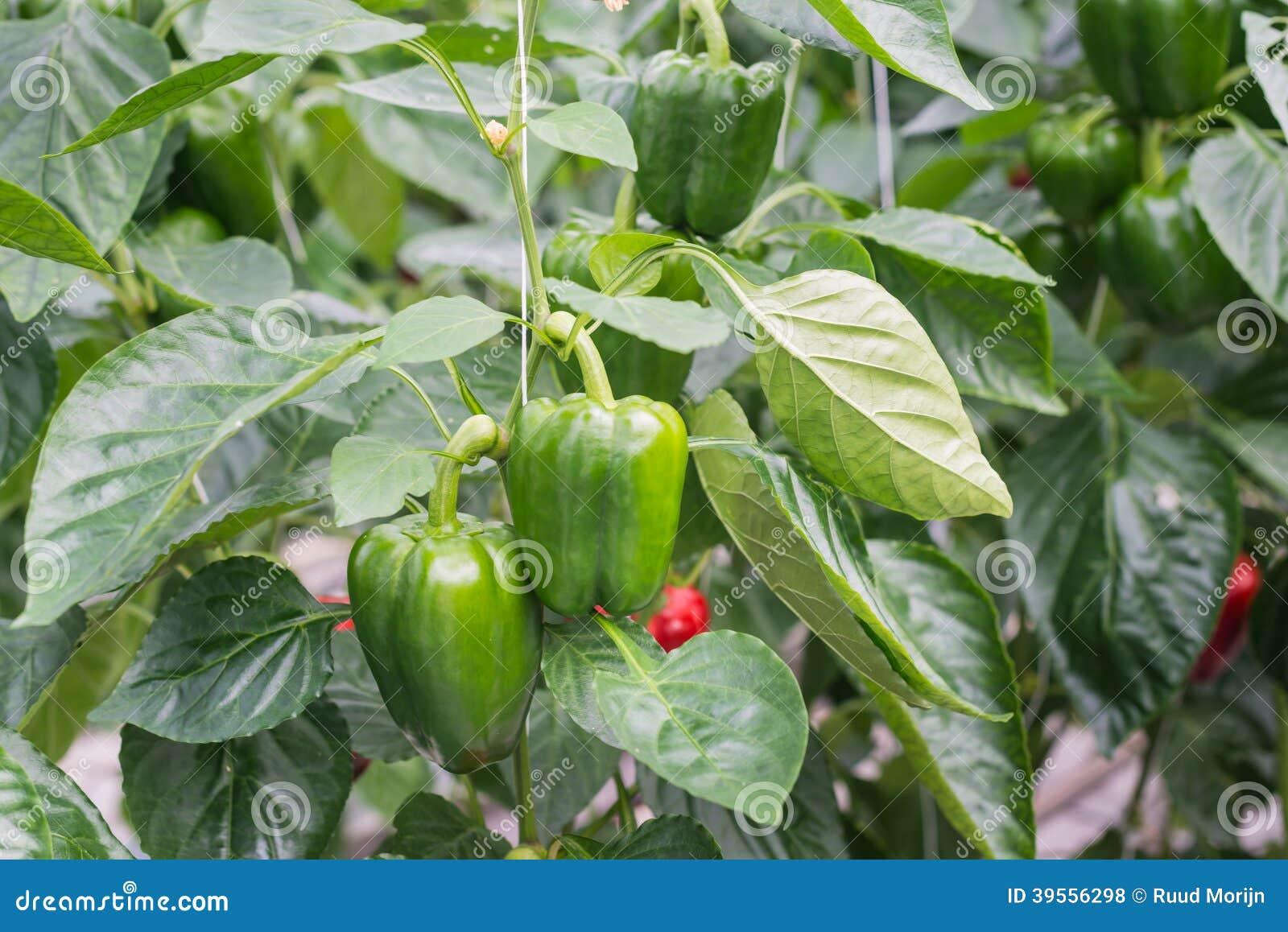 成熟在植物的青椒