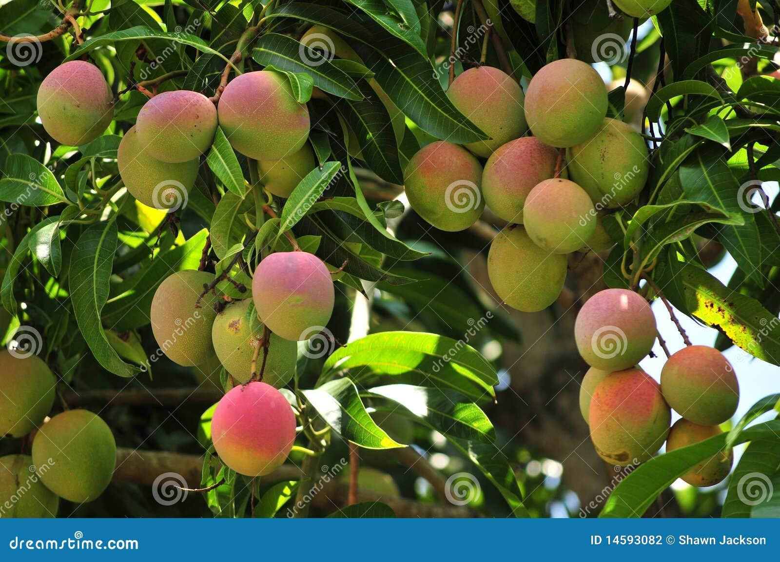 成熟结构树的芒果