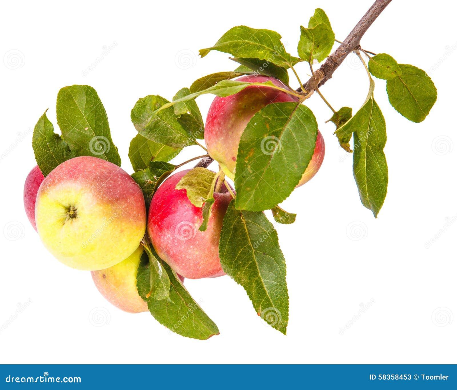 成熟苹果的分行
