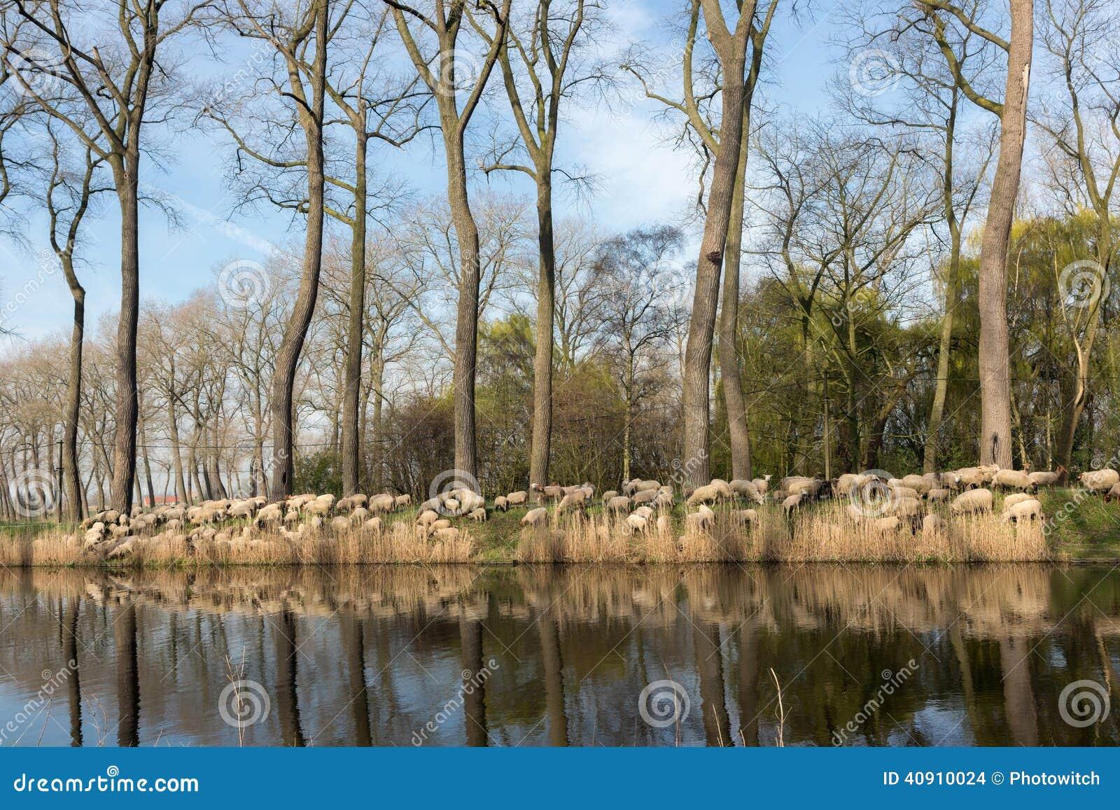 成群绵羊在富兰德