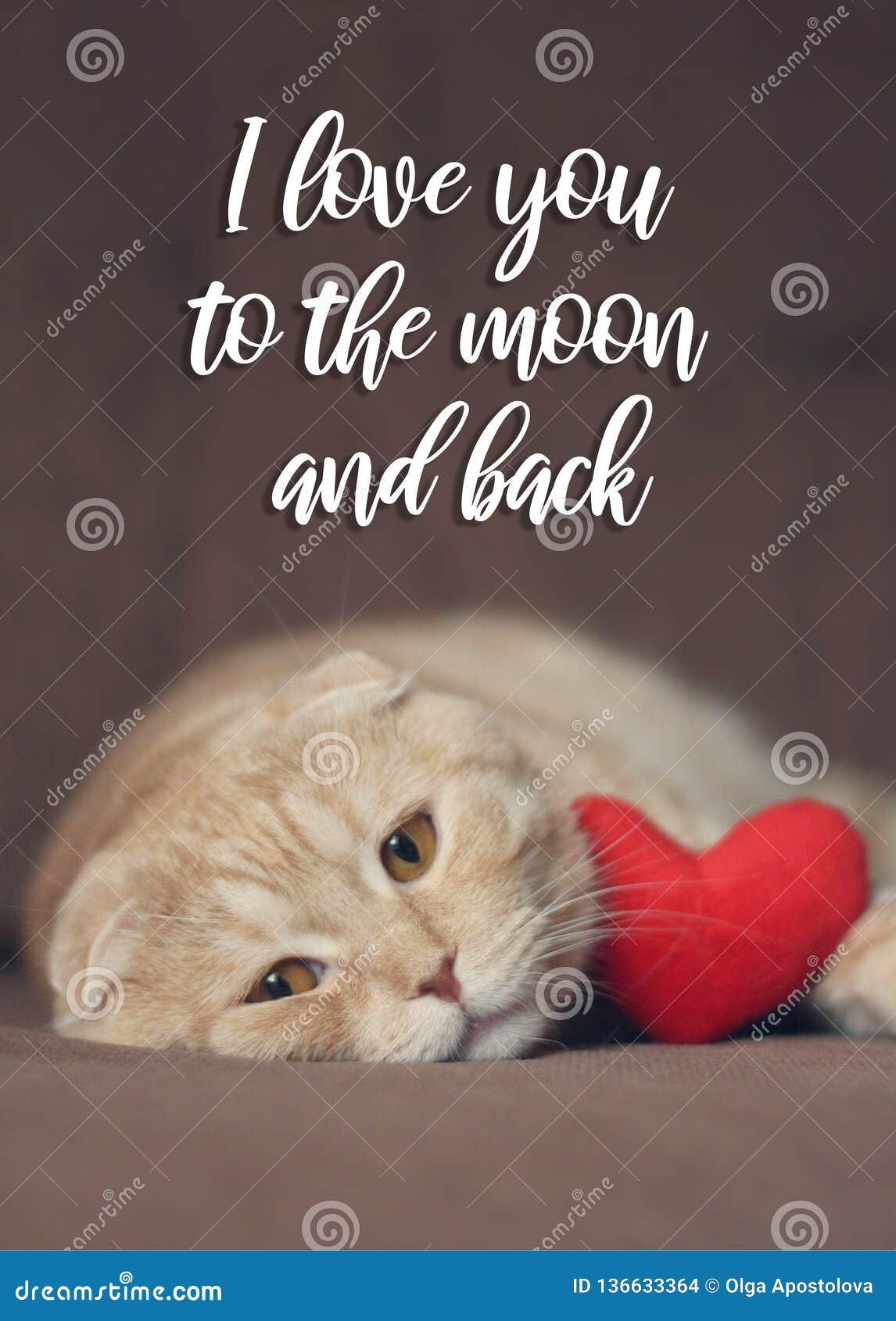 我爱你对月亮和后面卡片 与红心的逗人喜爱的scottishfold猫