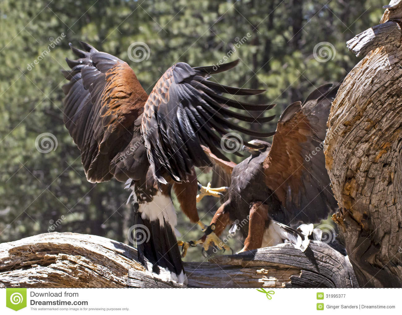战斗在树的两只哈里斯鹰鸟(parabuteo unicinctus).