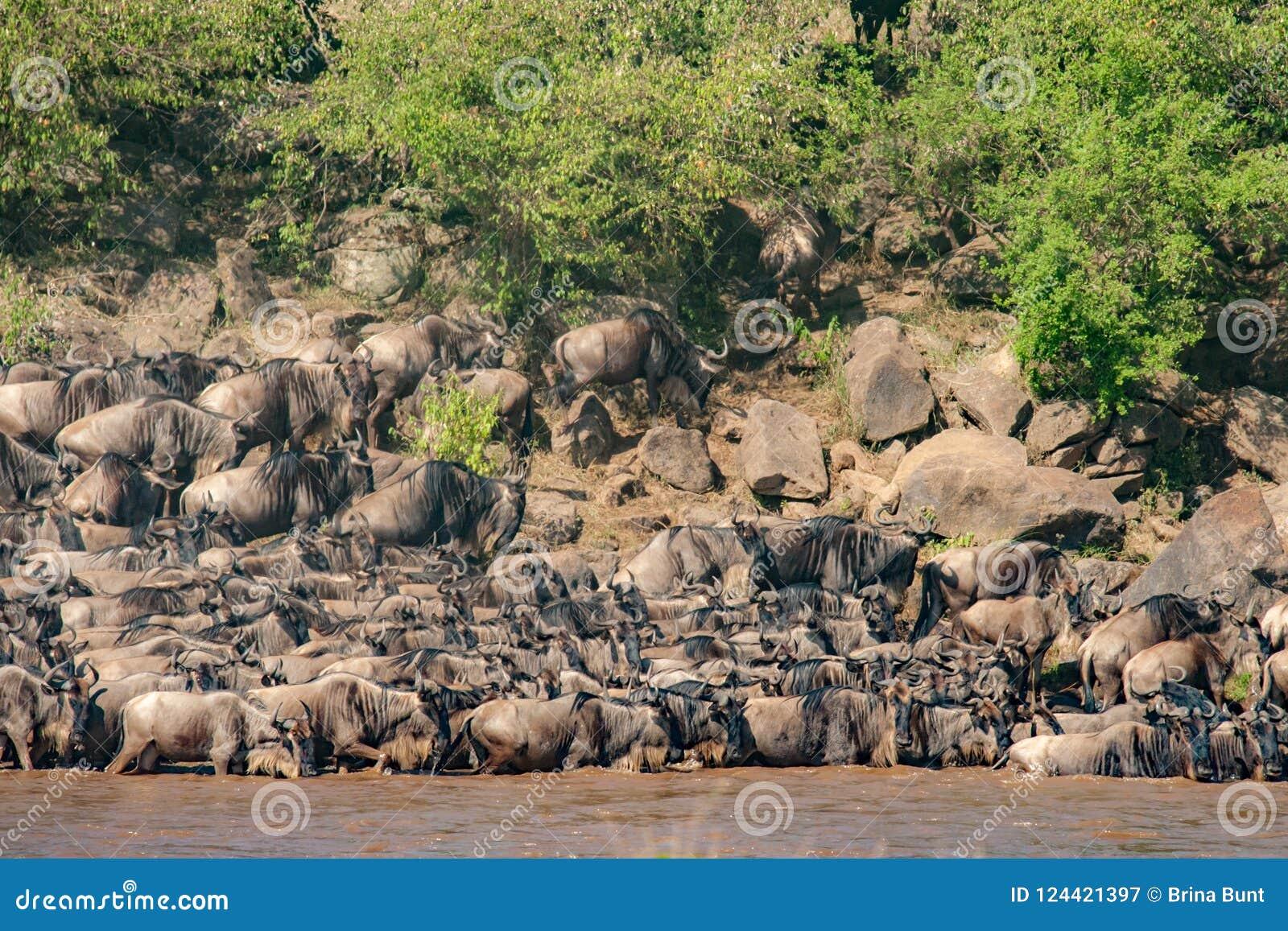 战斗角马的牧群横渡尼罗河在他期间角马迁移