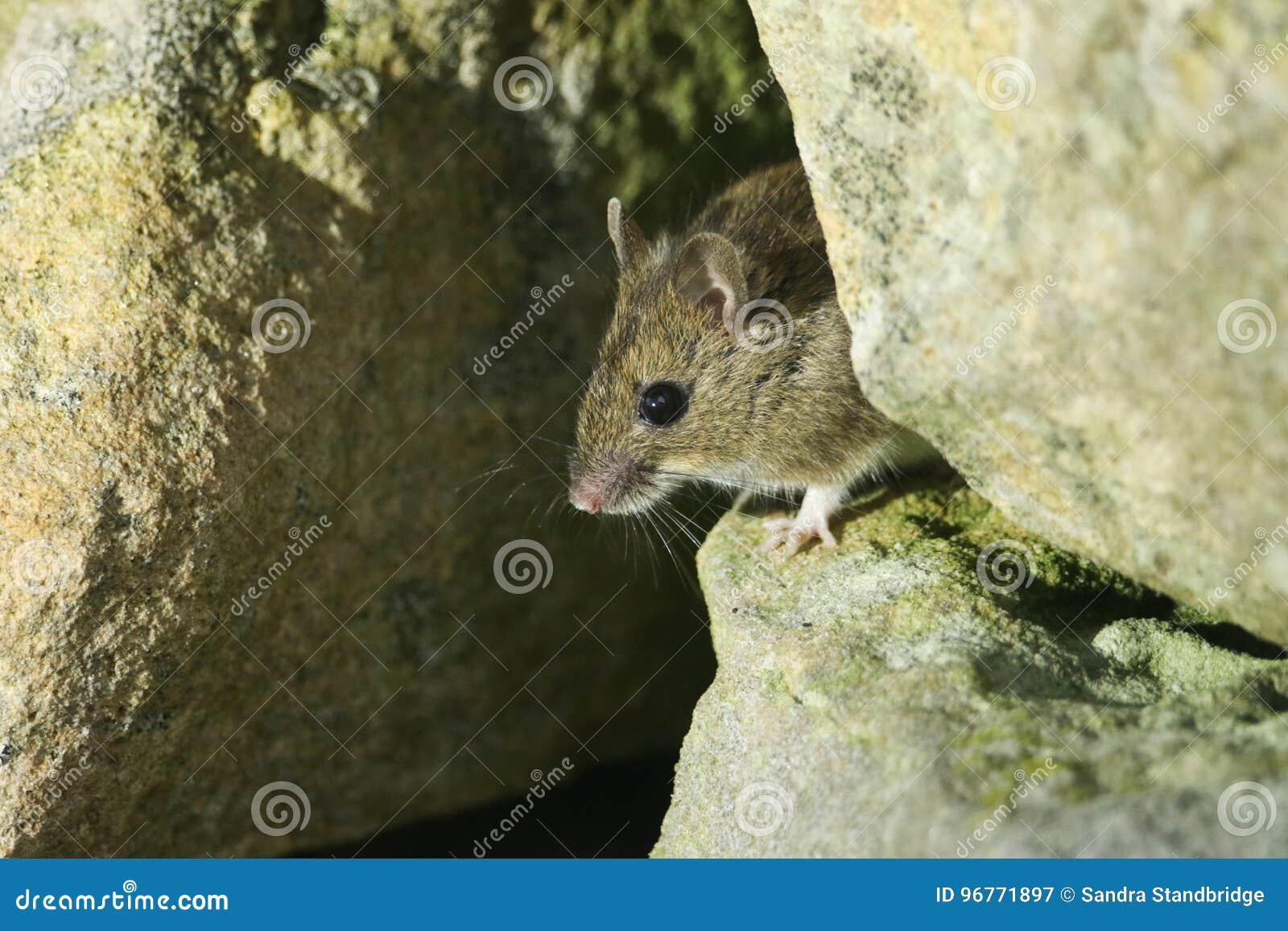 戳它的头的一逗人喜爱的狂放的木老鼠姬鼠属sylvaticus在它的一个石墙的家外面