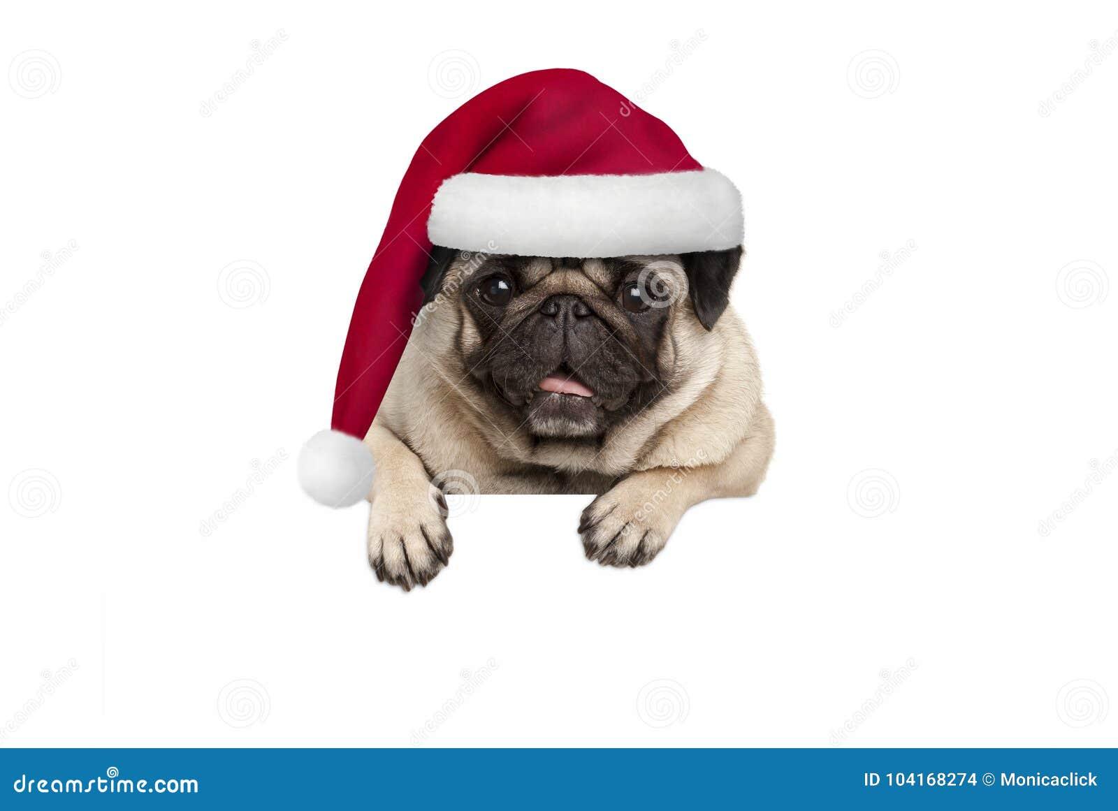 戴红色圣诞老人帽子的逗人喜爱的圣诞节哈巴狗小狗垂悬与在空白的白色横幅的爪子