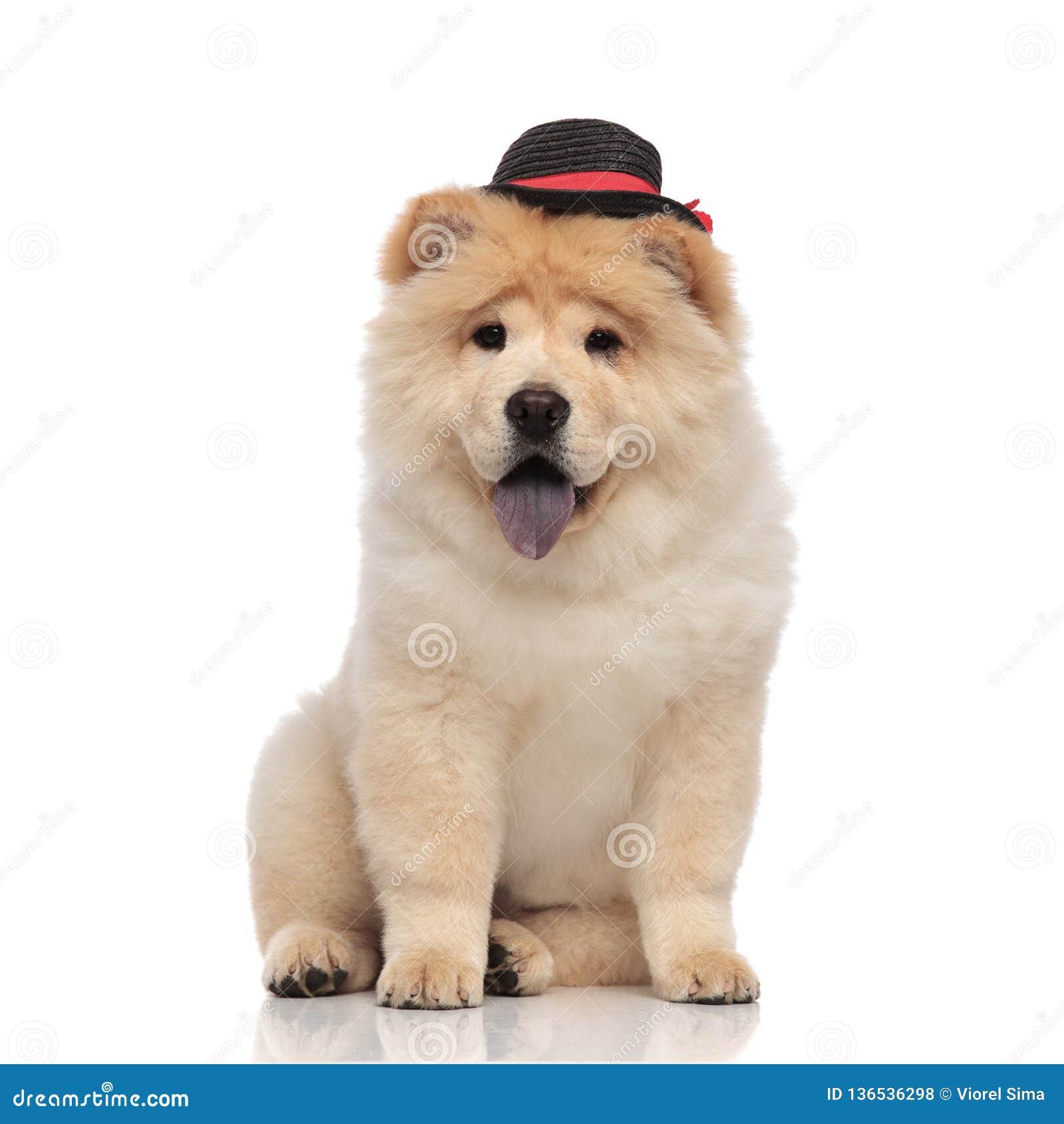 戴黑帽会议的典雅的中国咸菜气喘和坐