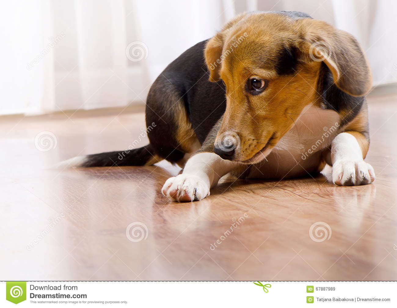 户内逗人喜爱的小猎犬小狗