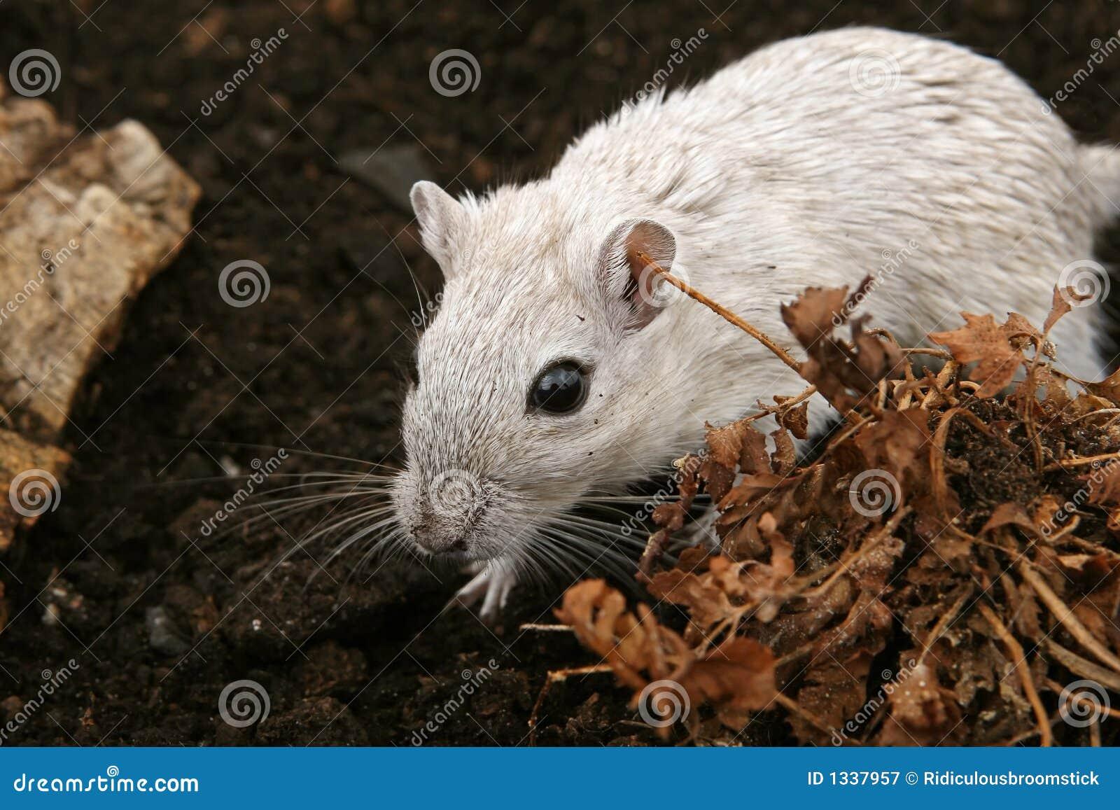 户外女性啮齿目动物白色