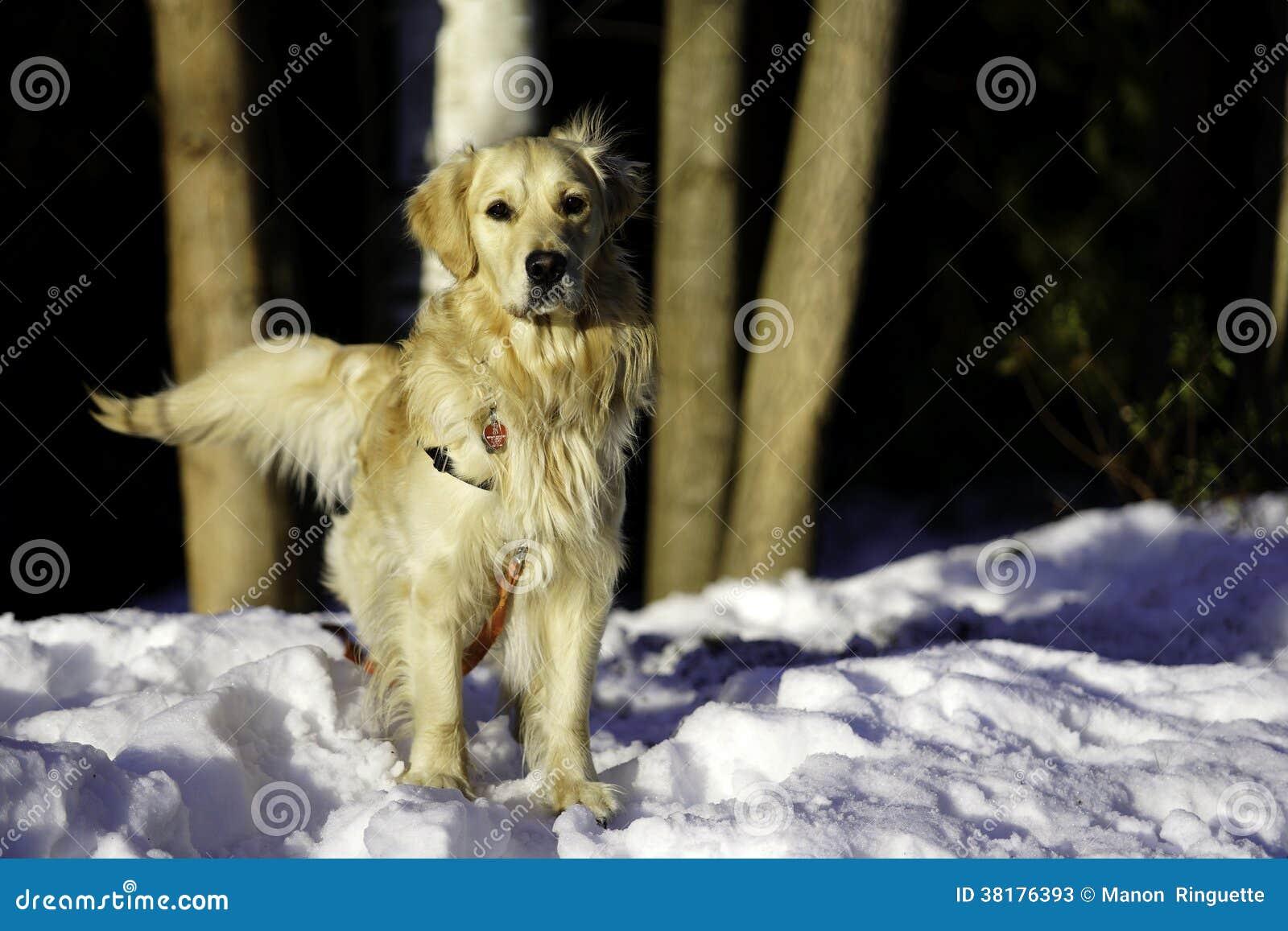 户外金毛猎犬冬天