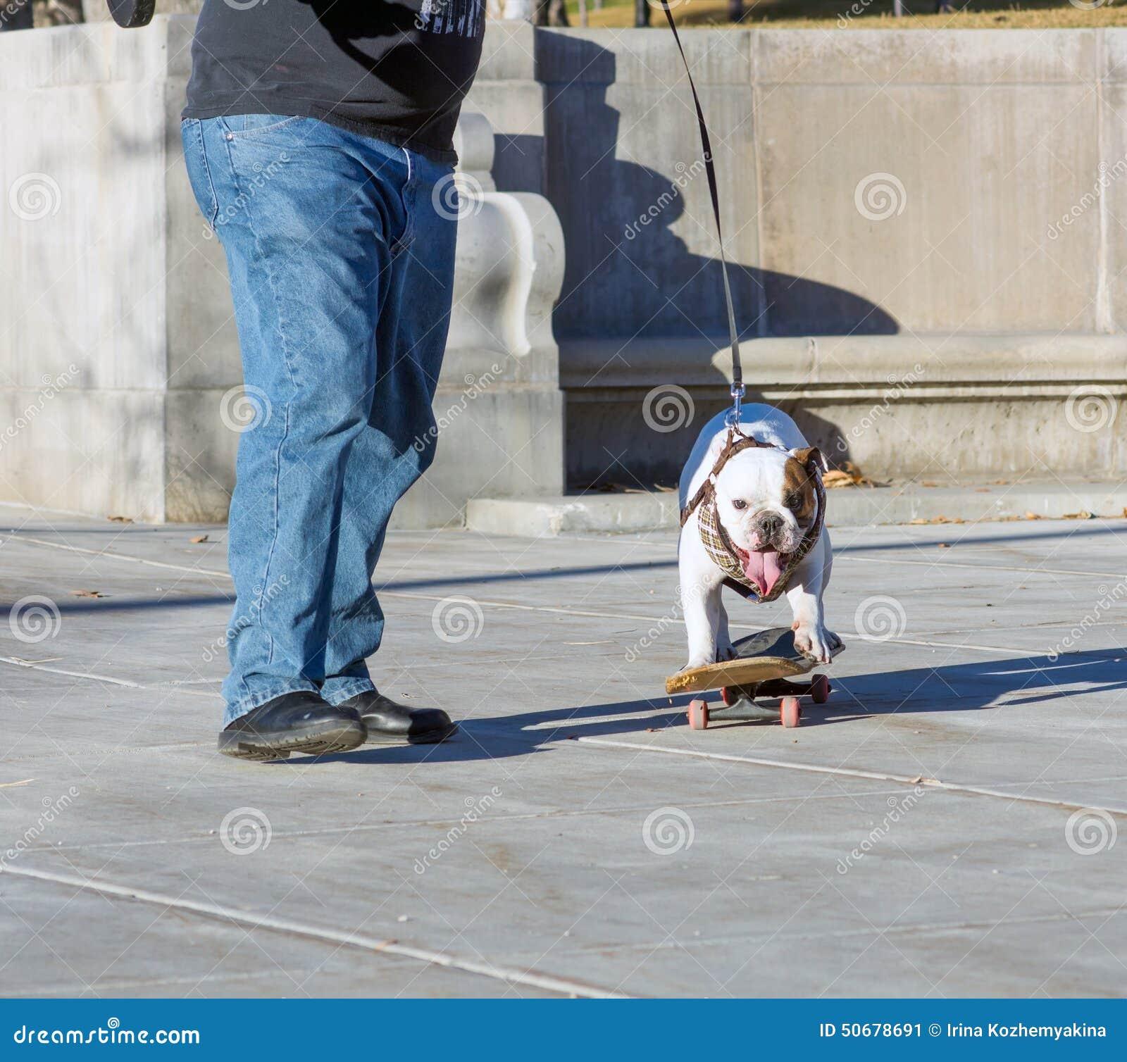 Download 所有者教踩滑板的英国牛头犬 库存图片. 图片 包括有 敌意, 质朴, 牛头犬, 体育运动, 采用的, 城市 - 50678691