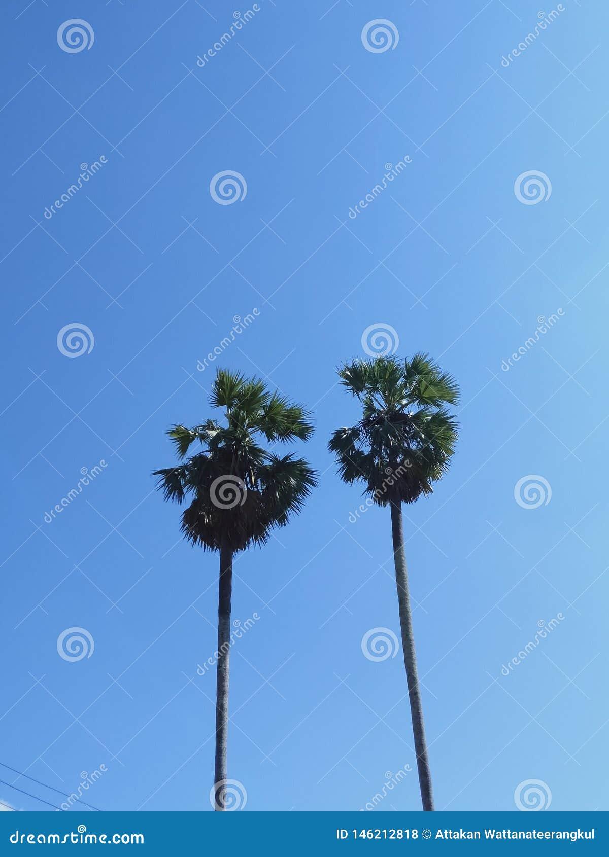 扇叶树头榈棕榈