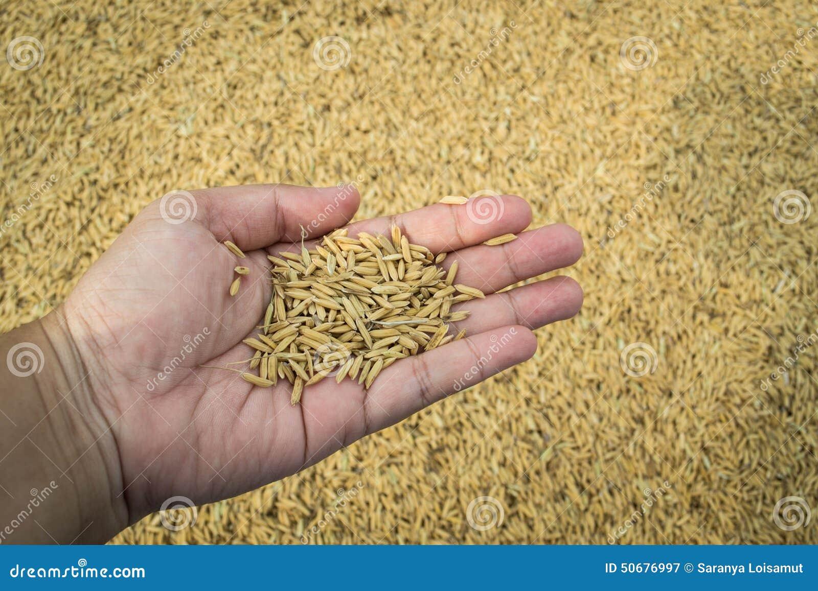 Download 手中的水稻 库存图片. 图片 包括有 沙漠, 气候, ,并且, 聚会所, 二项式, 特写镜头, 阿尔卑斯 - 50676997