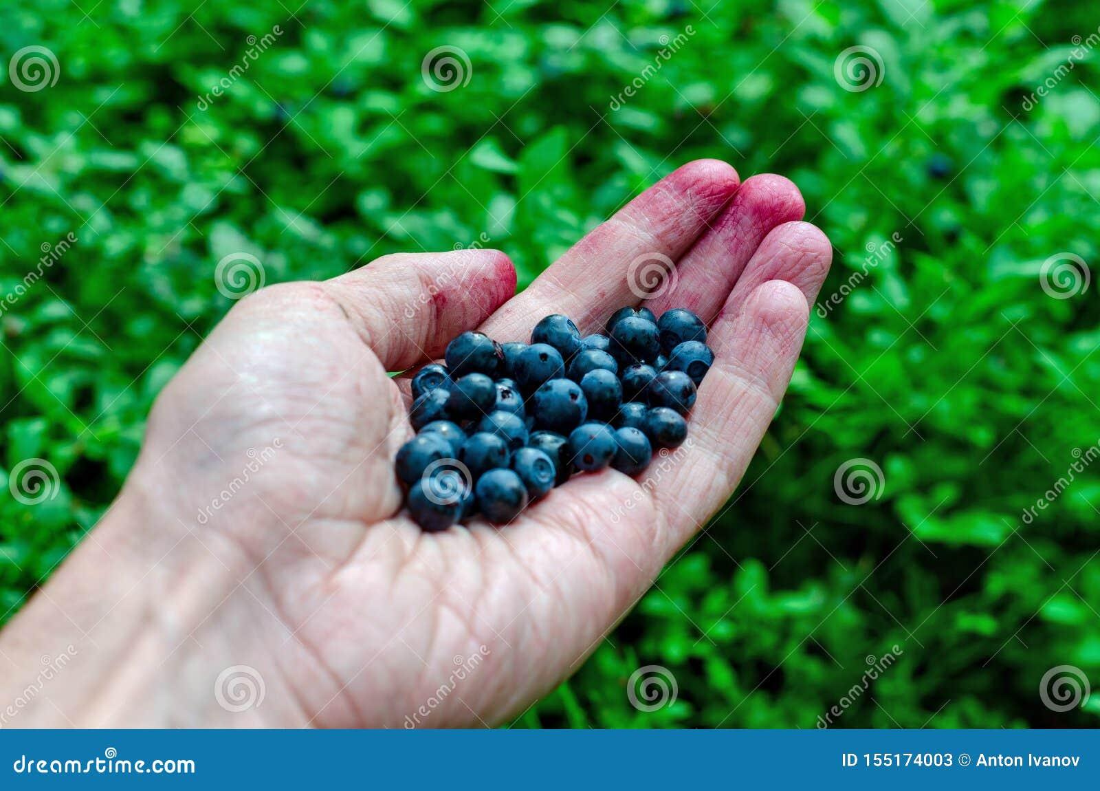 手新鲜的蓝莓的人藏品在越桔灌木背景