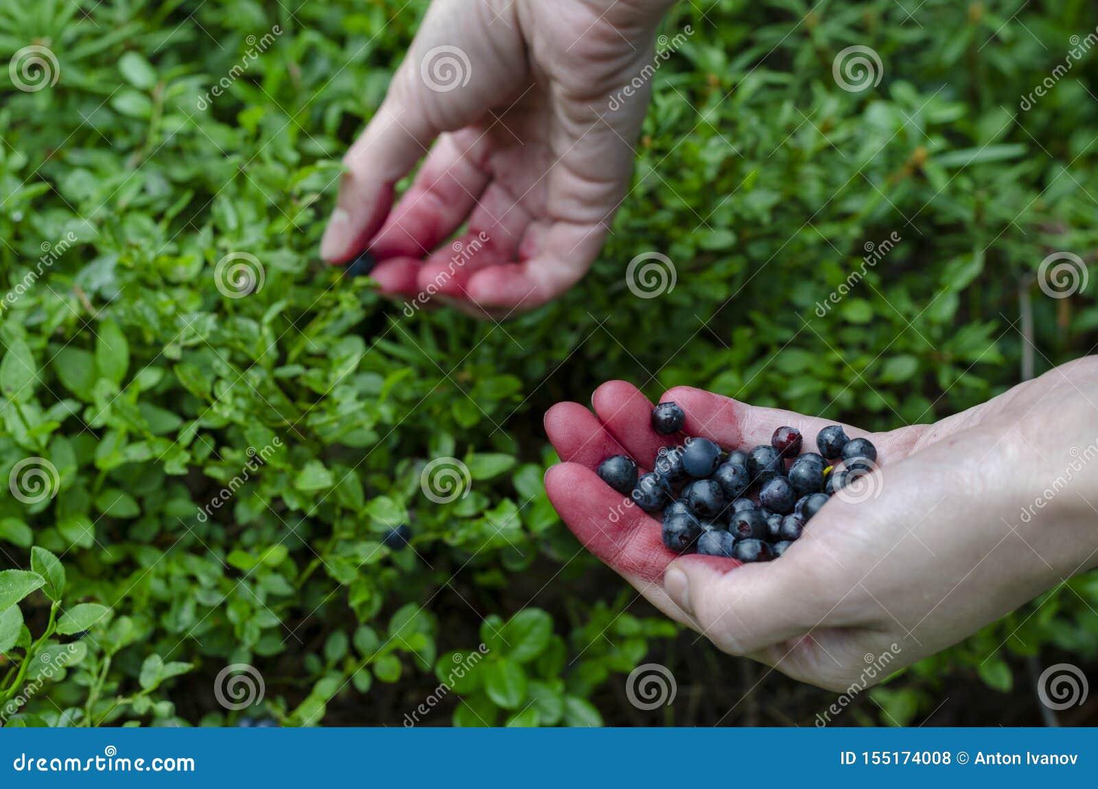 手新鲜的蓝莓的妇女藏品在越桔灌木背景