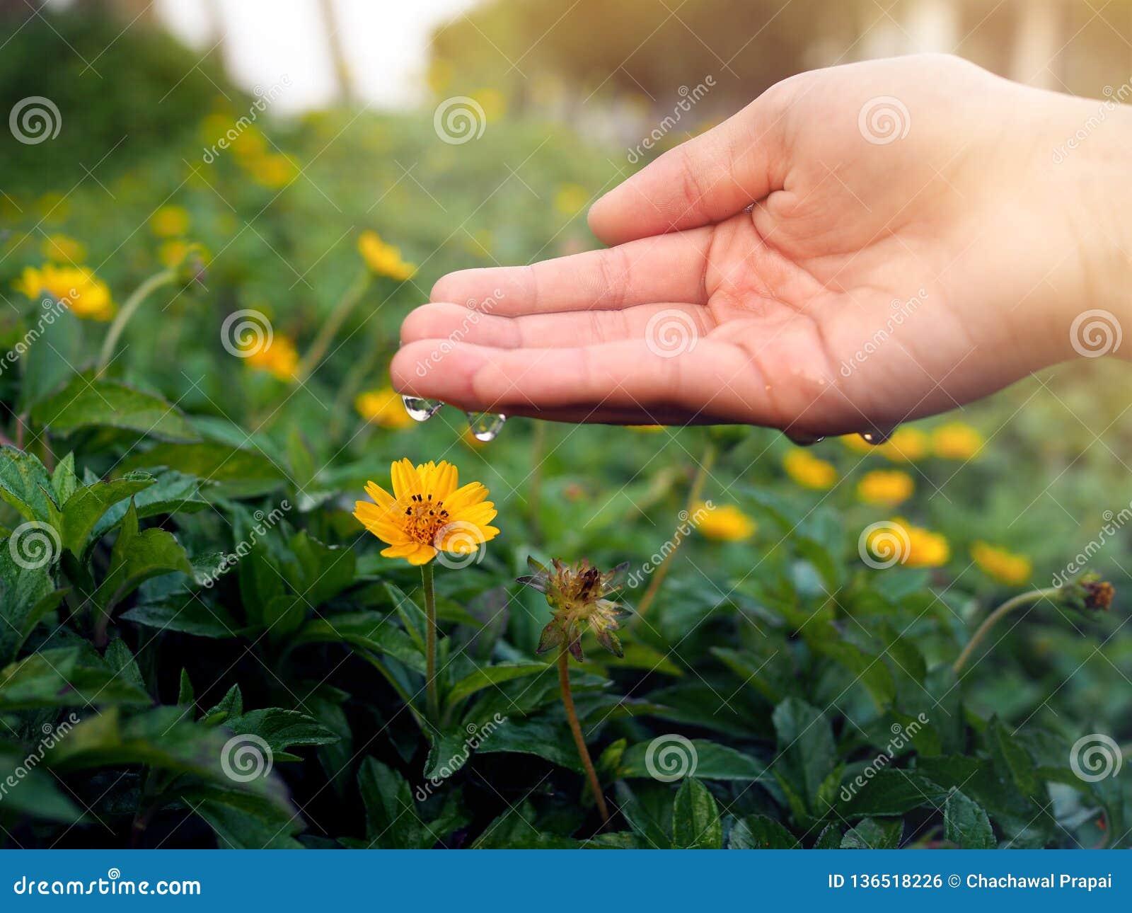 手落下的水的特写镜头到与美好的下午日落的一朵黄色花里