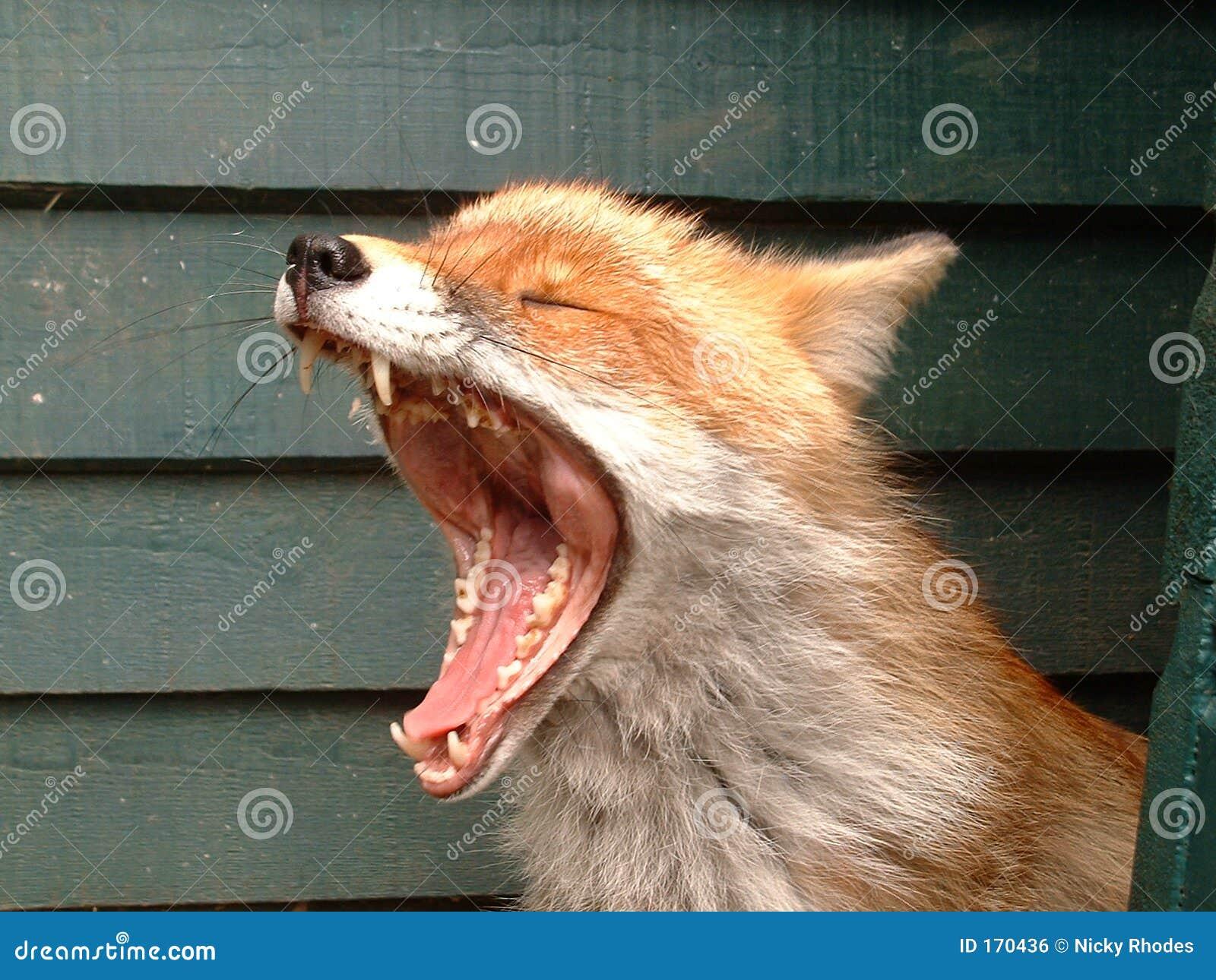 打呵欠的狐狸