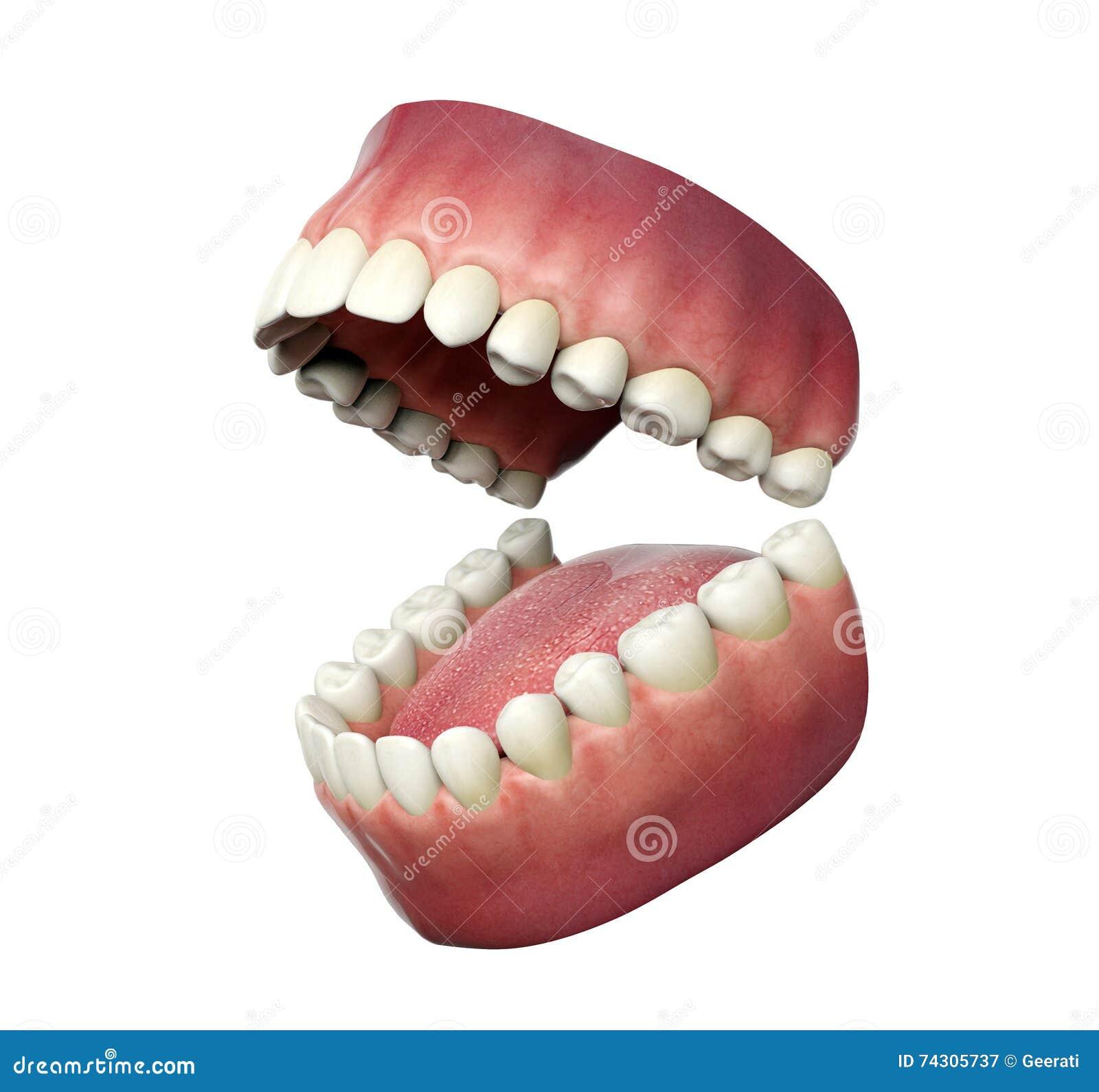 打开在白色背景的人的牙