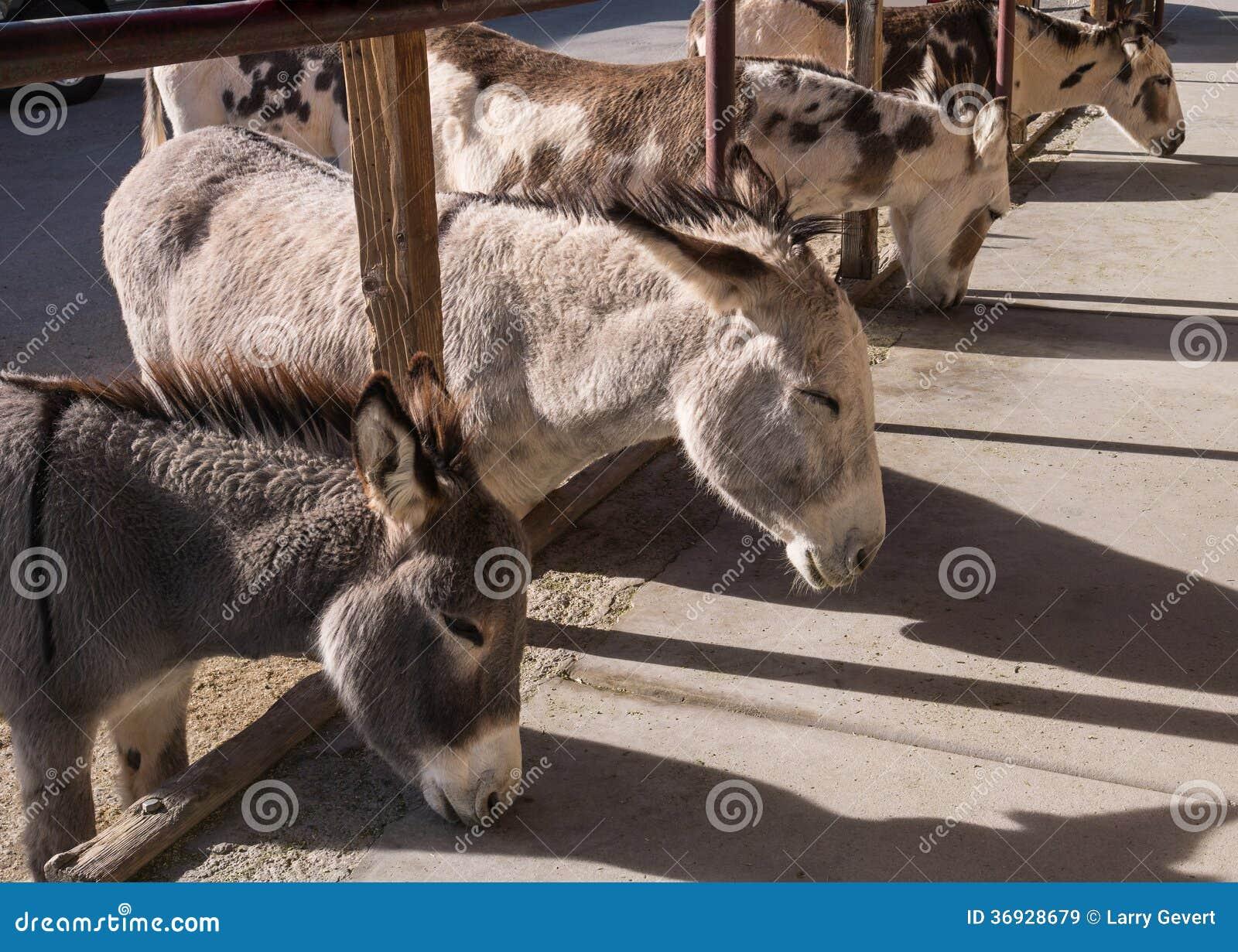 寻找赠送品的野生驮货驴子