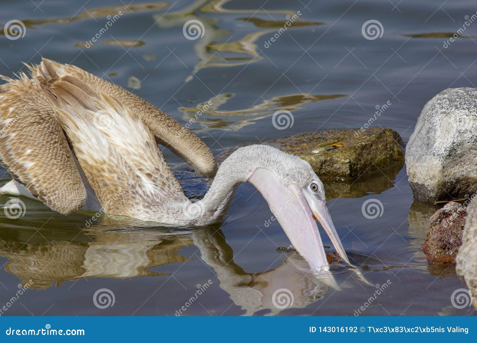 抓鱼的鹈鹕在湖Hora,埃塞俄比亚附近