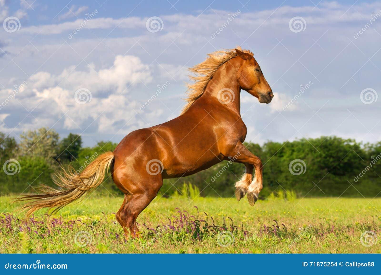抚养红色的马