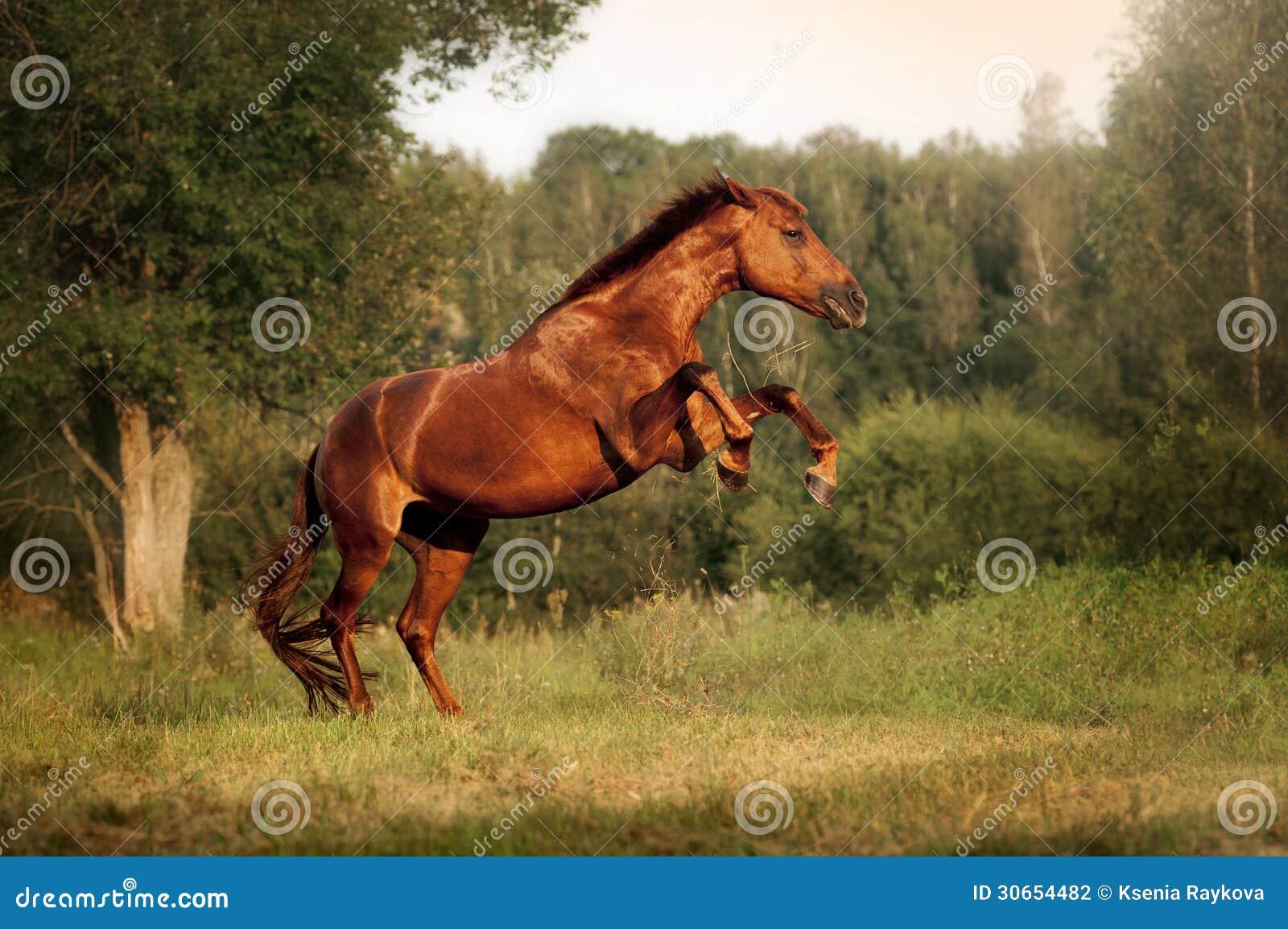抚养美丽的海湾的马