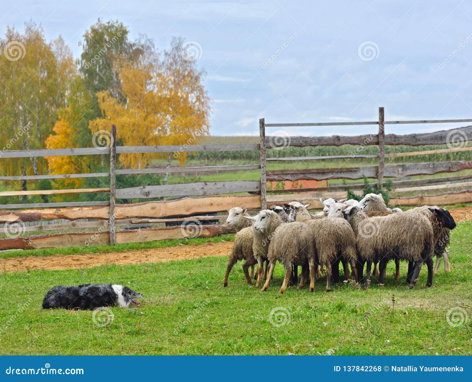 护羊狗训练