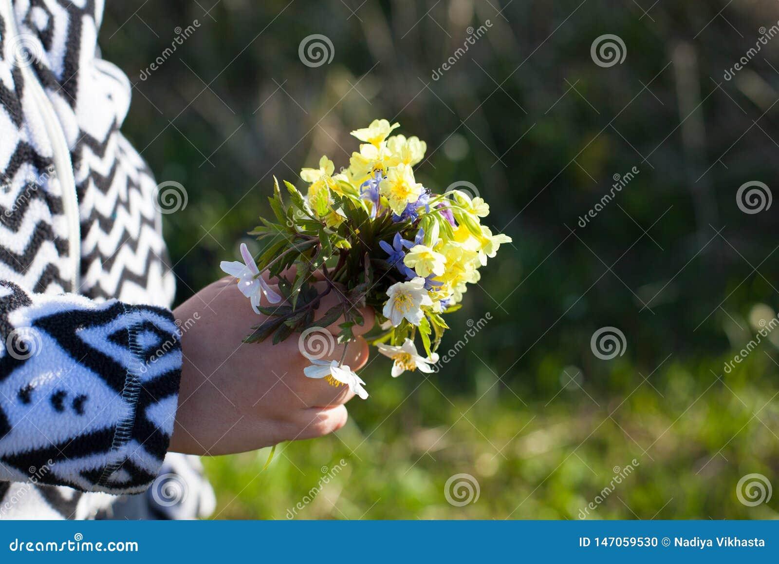 报春花逗人喜爱的花束妈妈的在婴孩的手上