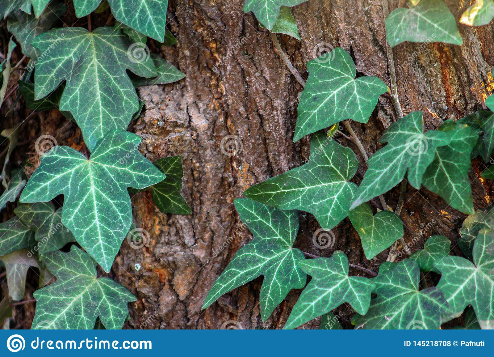 R 报道杉树的织地不很细吠声表面的一个大部分英国常春藤藤