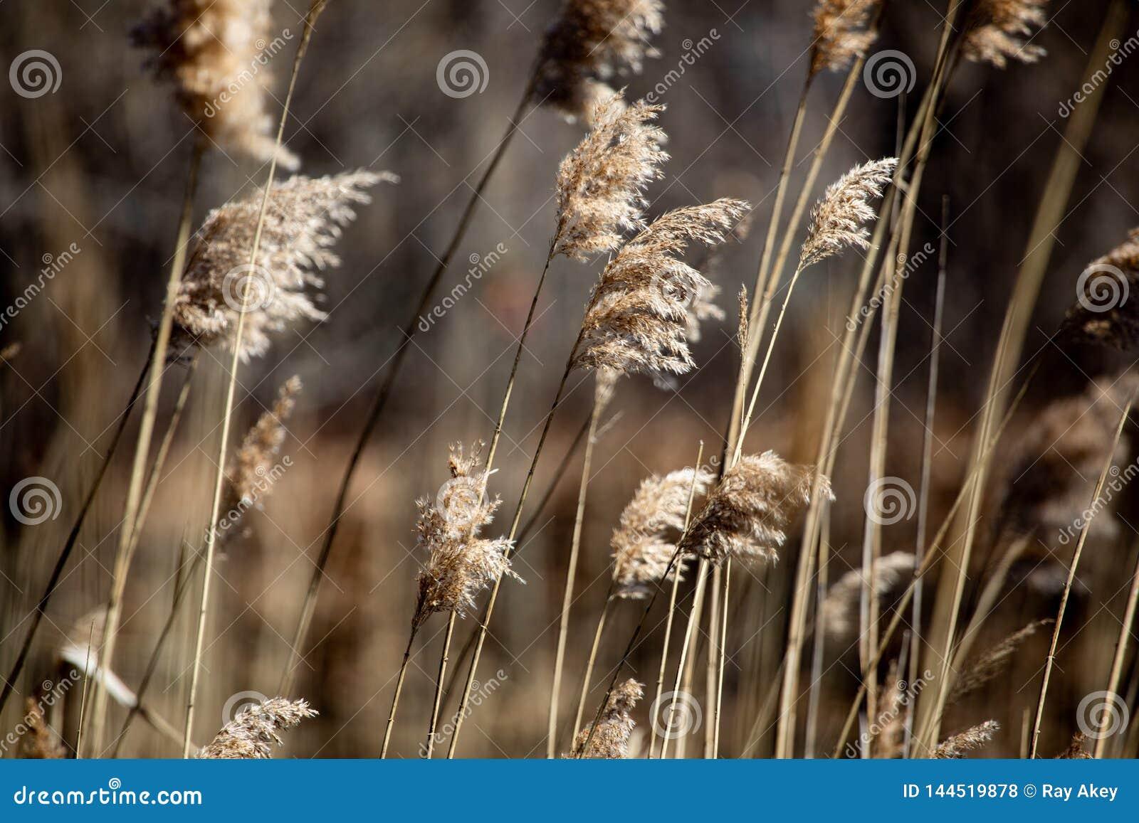抽象背景保护春天下午布朗高草