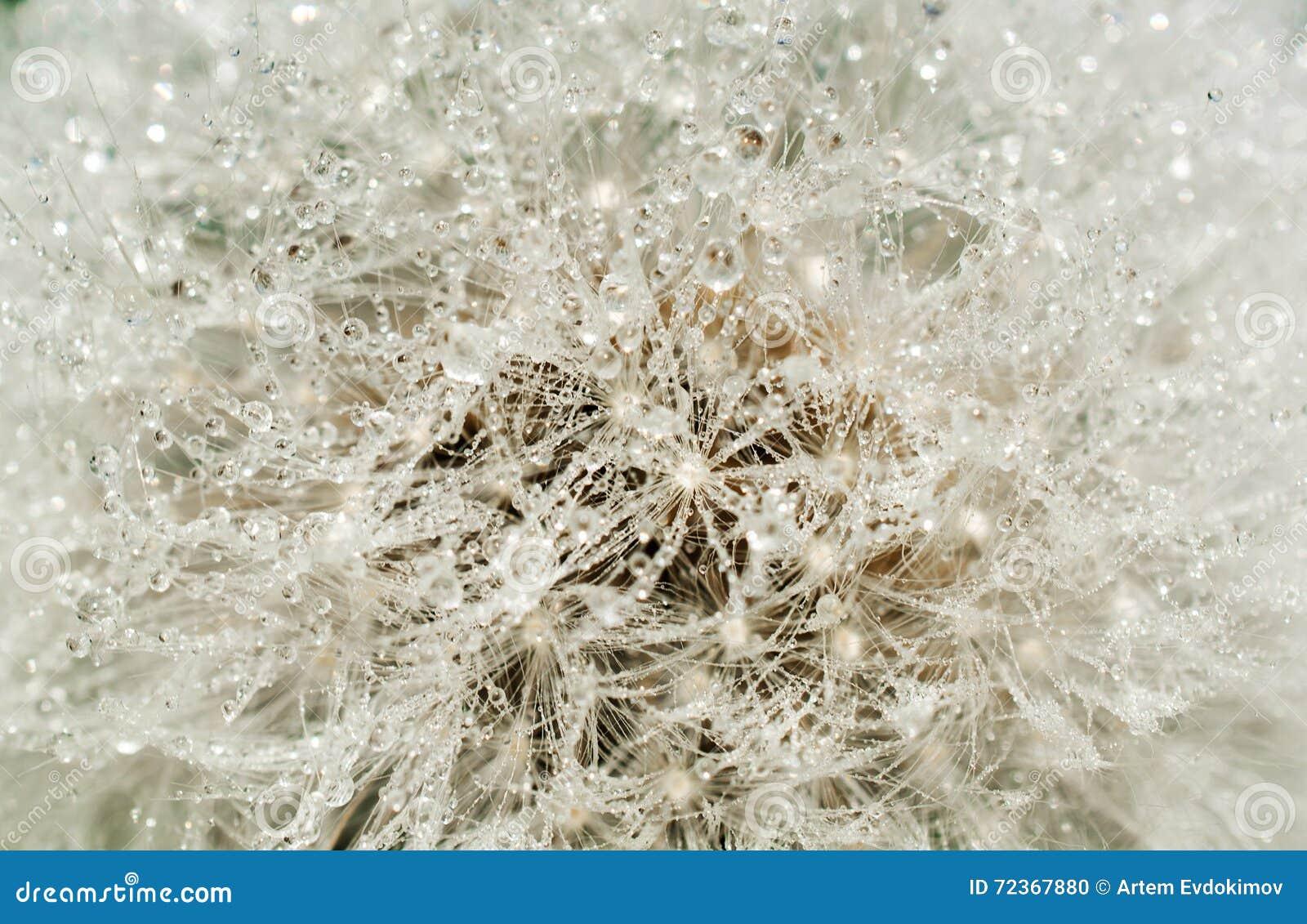 抽象蒲公英花用水投下背景,特写镜头