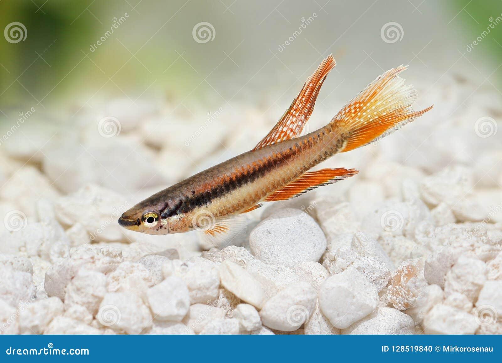 拉各斯红色锵鱼水族馆鱼Killi Aphyosemion bitaeniatum