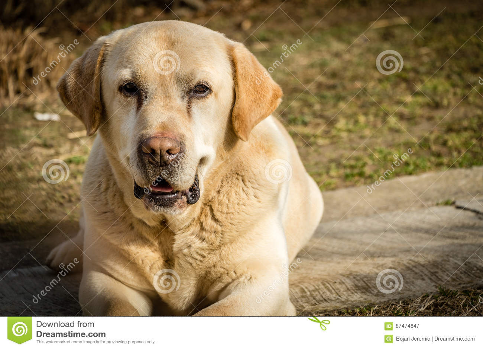 拉布拉多狗的画象