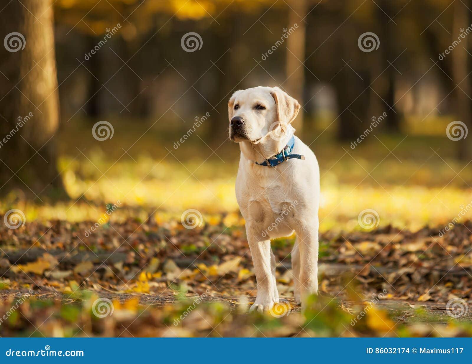 拉布拉多猎犬在公园