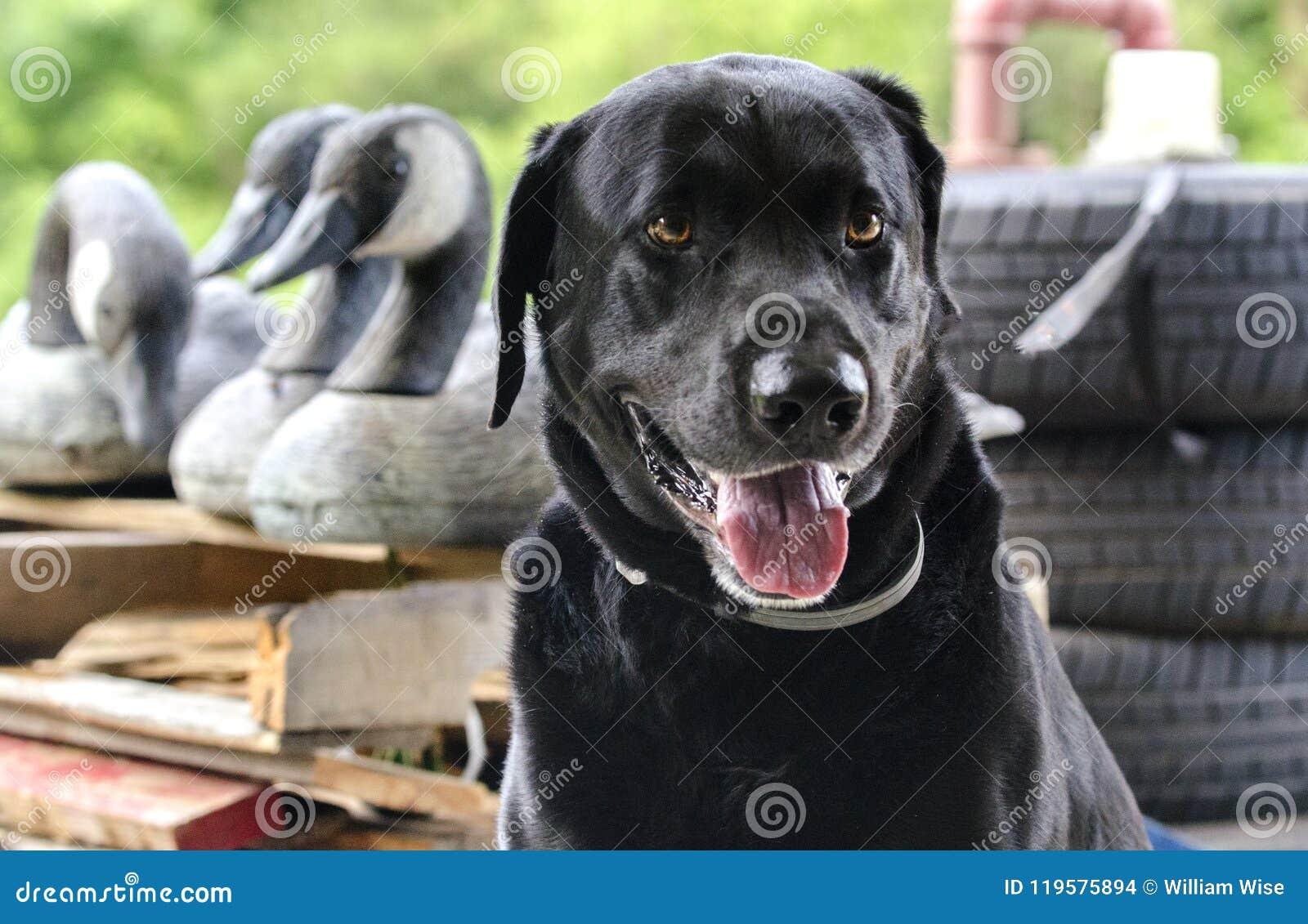 拉布拉多猎犬鸭子与加拿大鹅诱饵的猎犬