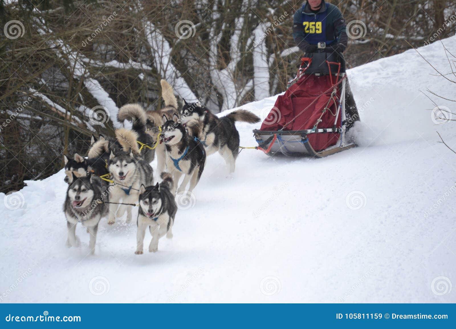 拉雪橇狗赛跑