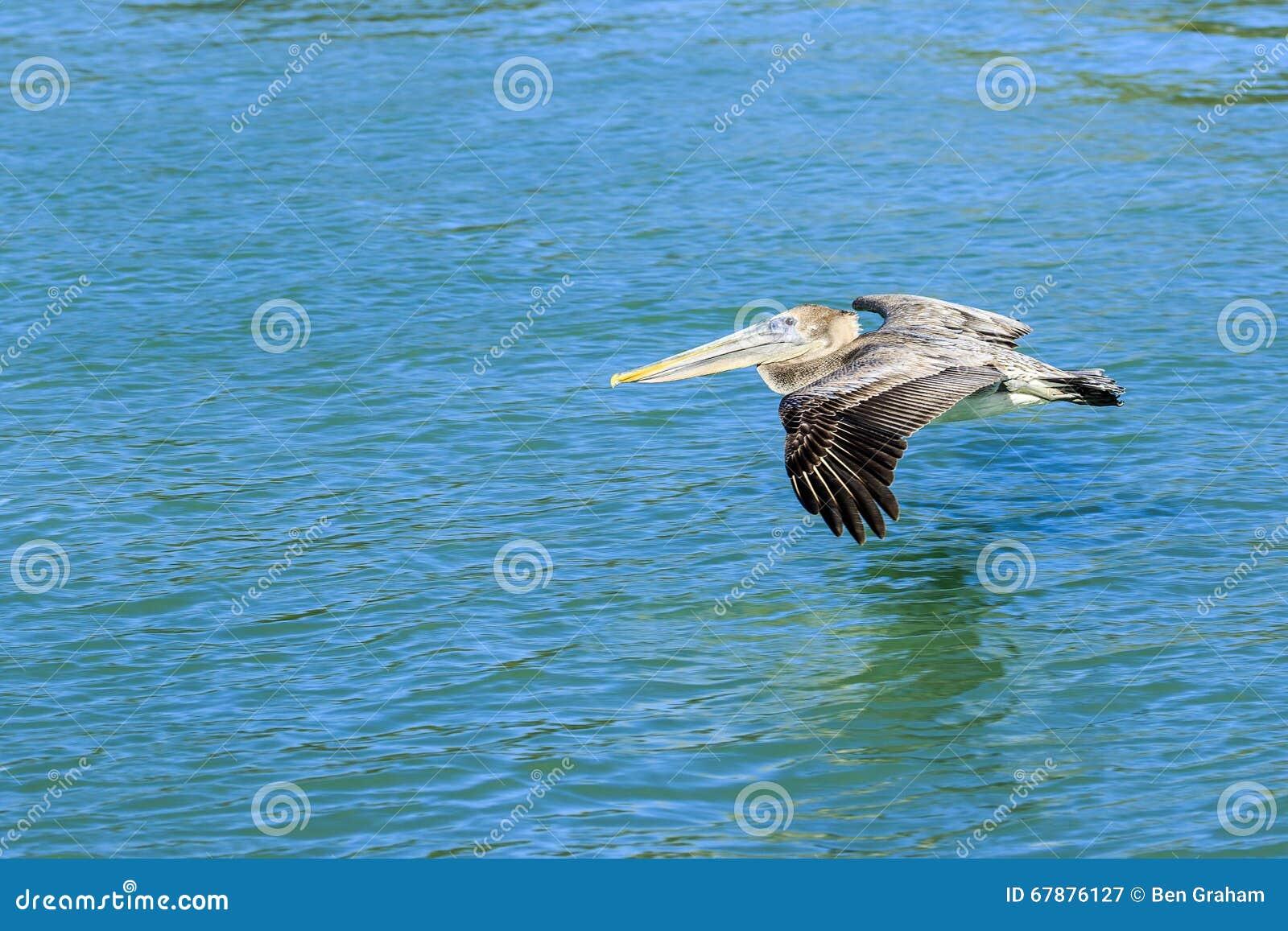 巴巴拉额嘴褐色加利福尼亚中央沿海早期的羽毛海滨广场早晨鹈鹕栖息码头圣诞老人