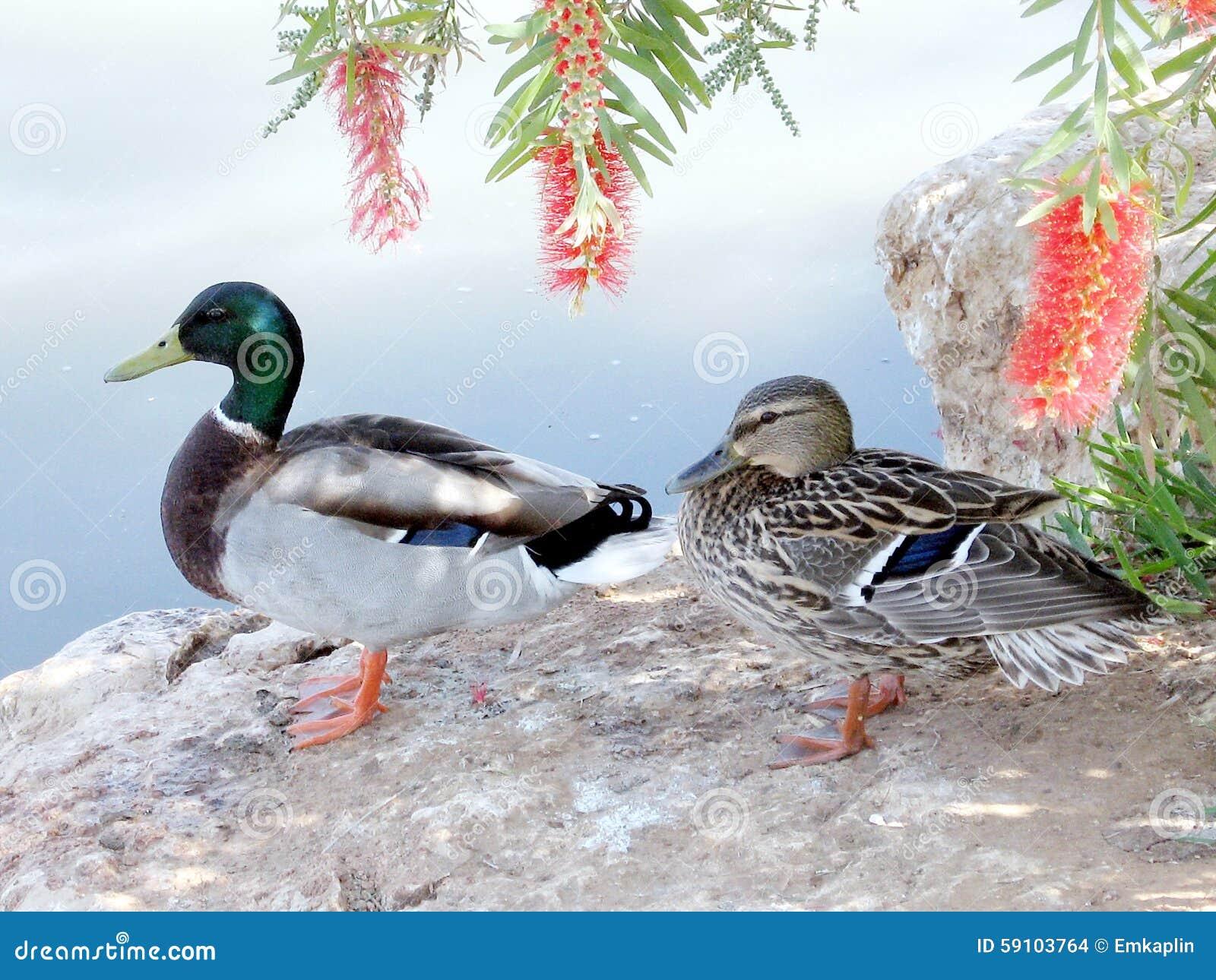 拉马干公园德雷克和鸭子2007年
