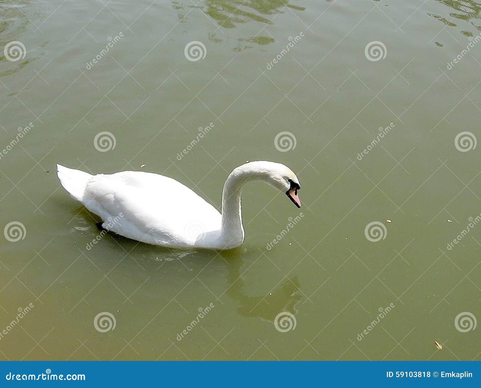 拉马干公园白色天鹅2008年