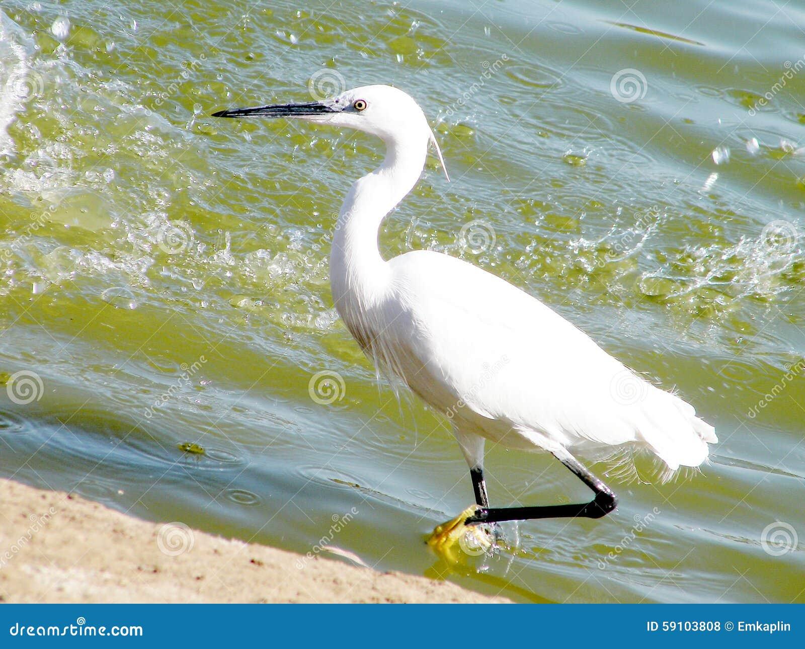 拉马干公园白色苍鹭2010年