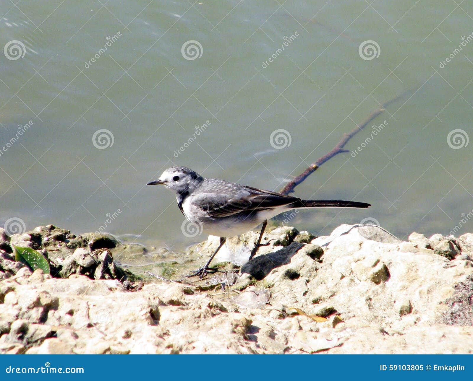 拉马干在池塘的公园令科之鸟2011年