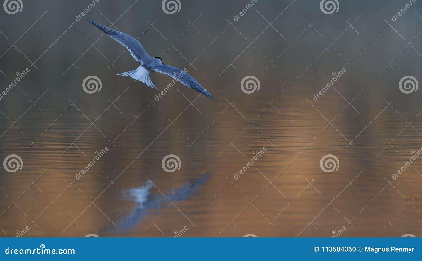招呼日出的共同的燕鸥飞行