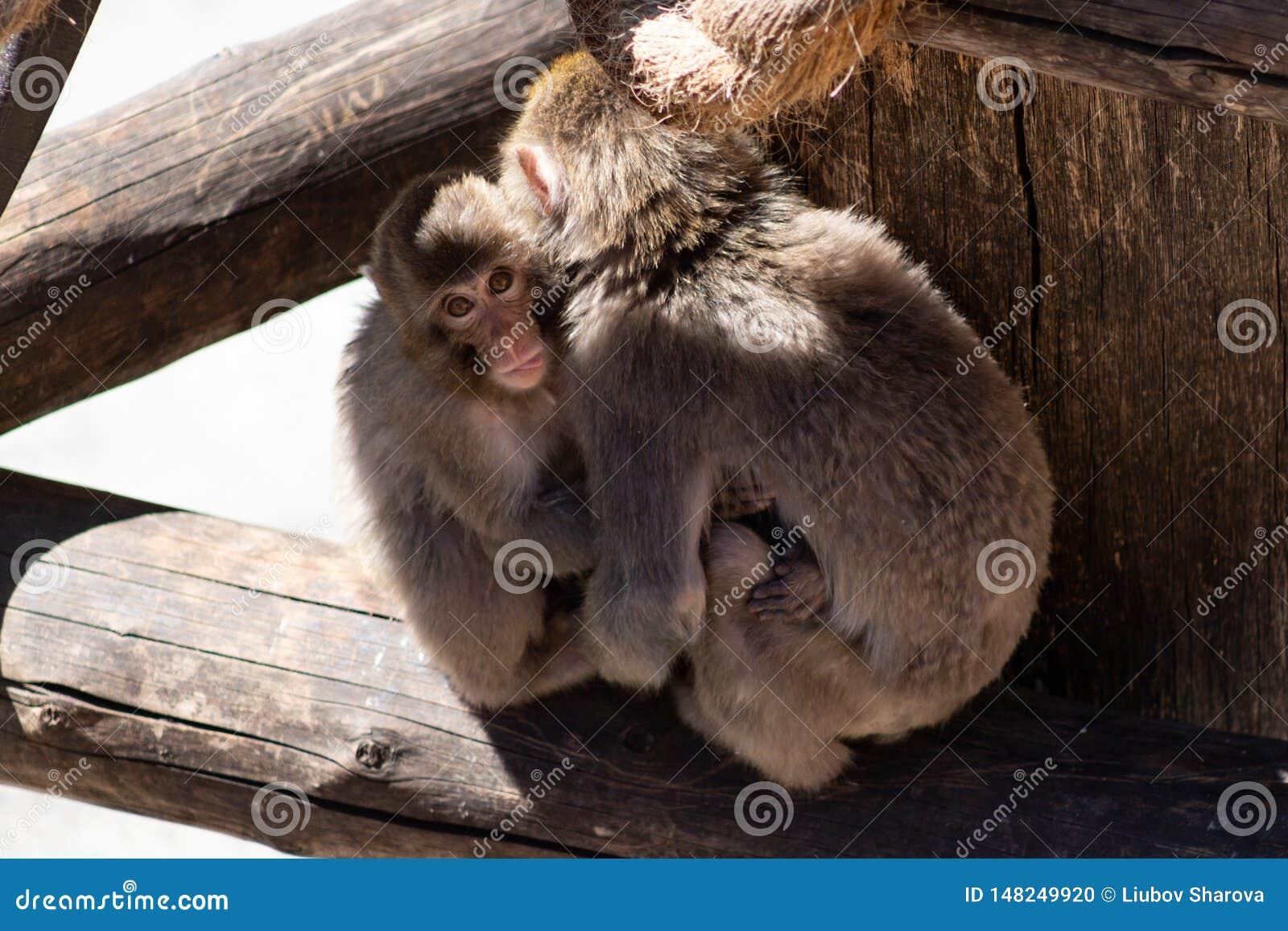 拥抱母亲和逗惹的婴孩日本短尾猿猴子他的舌头