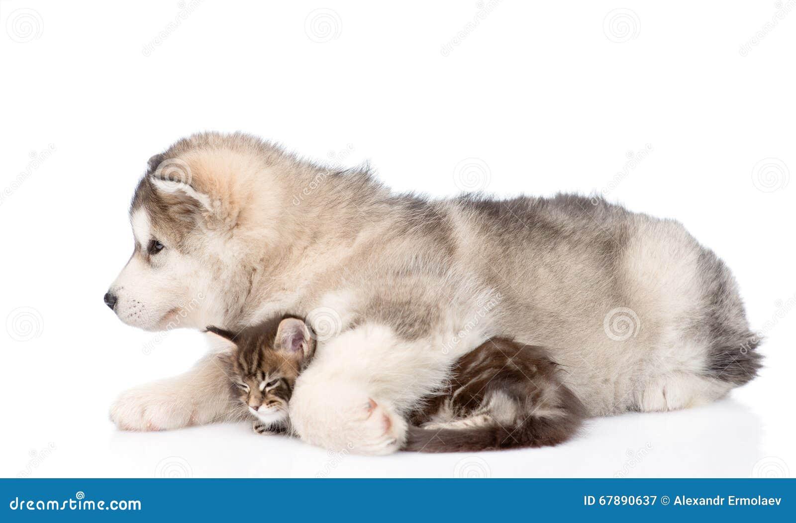 拥抱缅因浣熊小猫的阿拉斯加的爱斯基摩狗小狗 查出