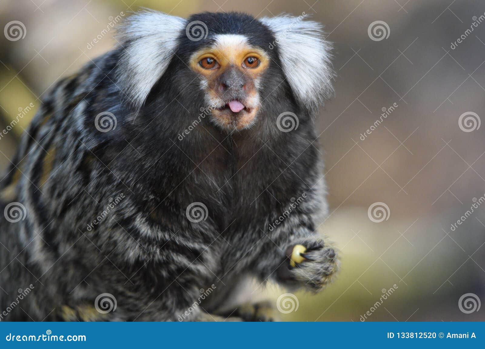 拨开它的舌头的逗人喜爱的小猿