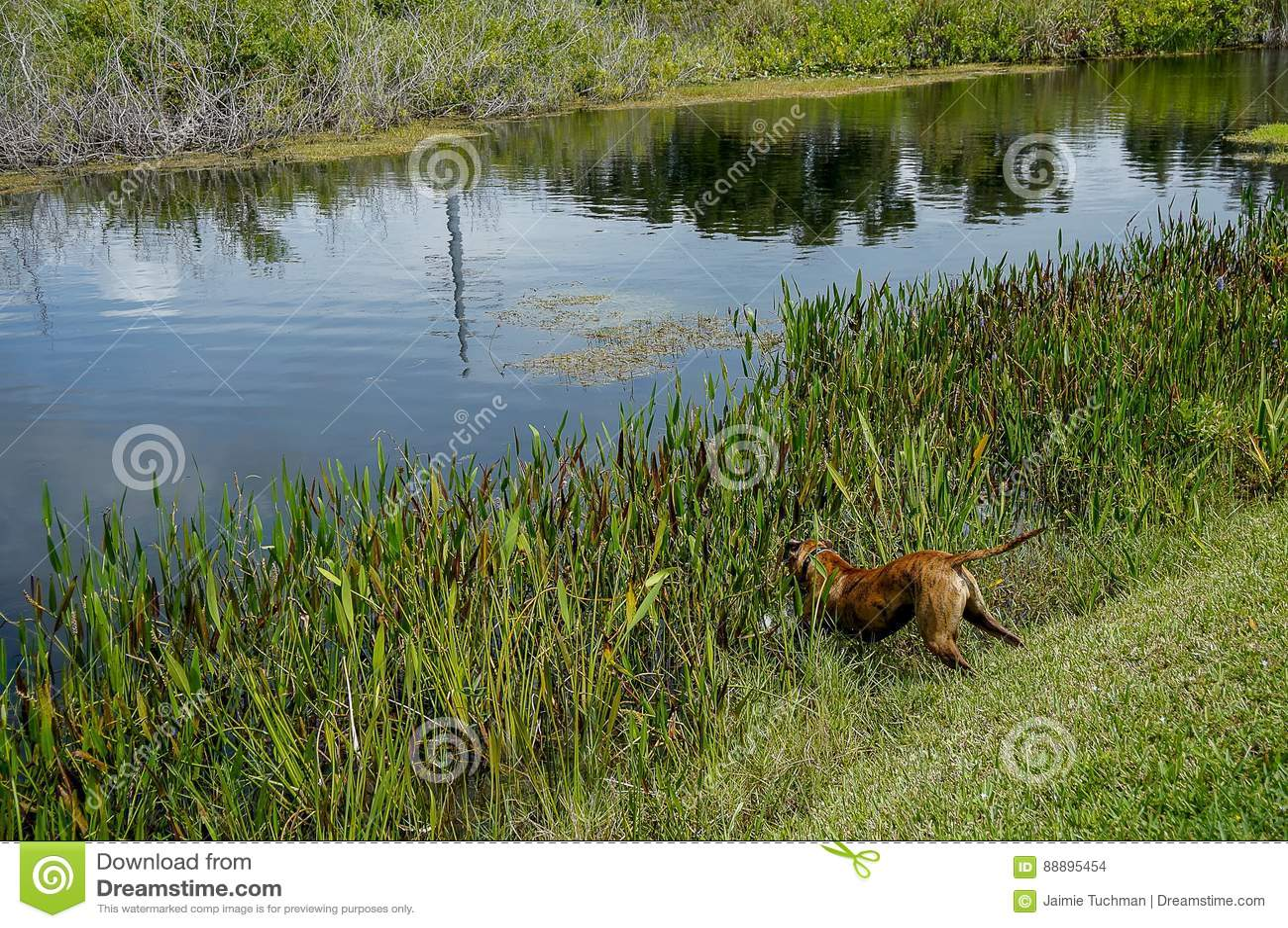 拳击手狗进入河