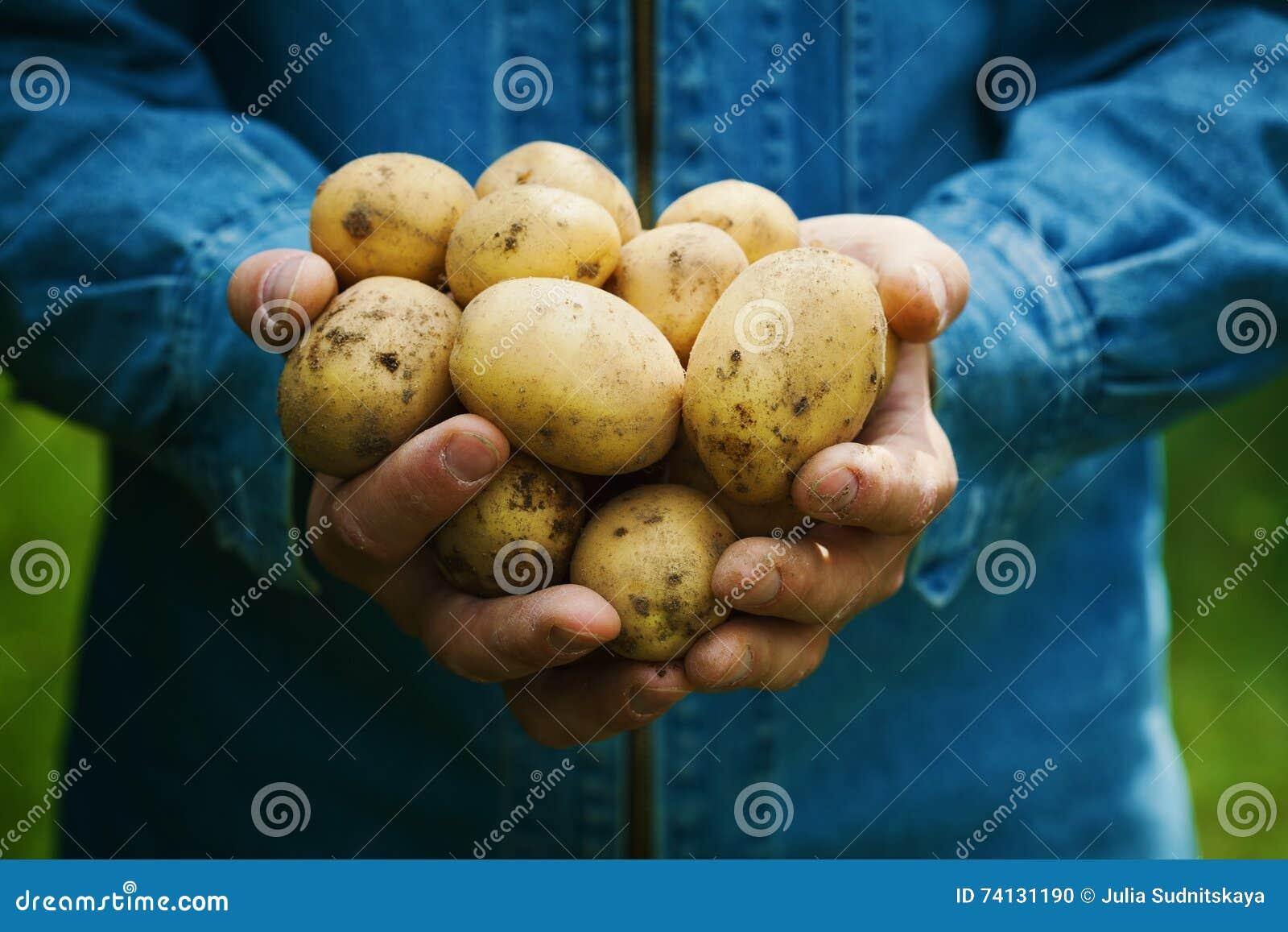 拿着在手上土豆的收获农夫在庭院里 有机蔬菜 种田