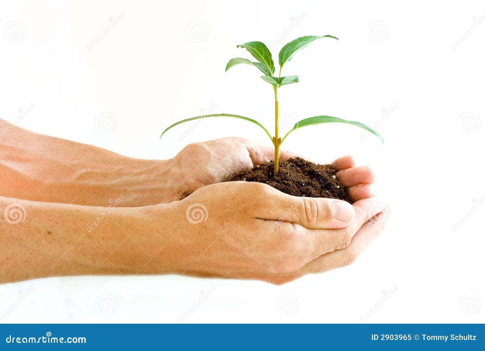 拿着工厂幼木的现有量