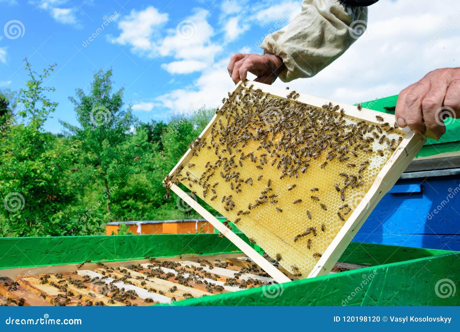 拿着蜂窝的蜂农有很多蜂 检查蜂窝框架的蜂农在蜂房 养蜂业概念