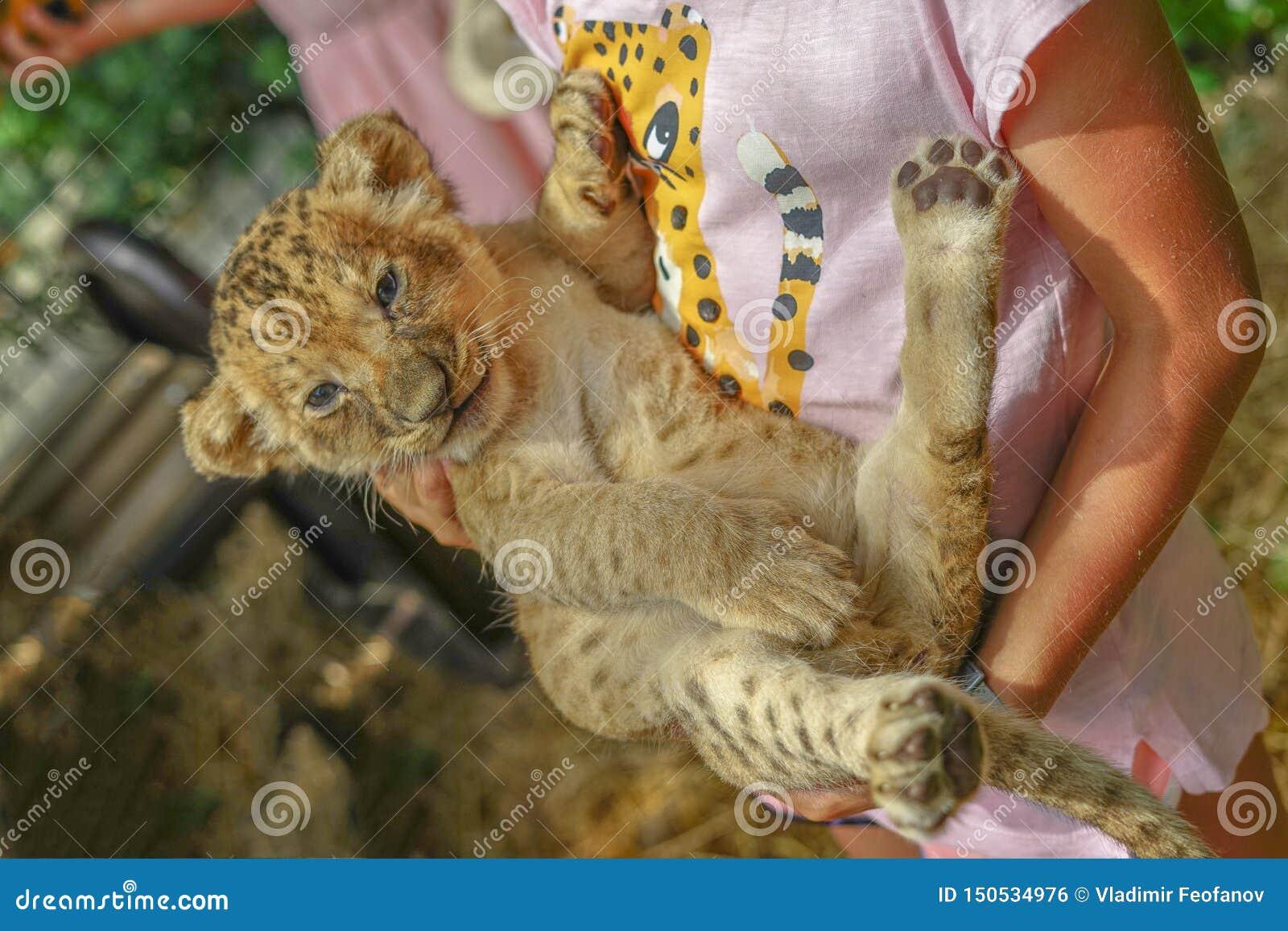 拿着豹子小猫的女孩 动物园,凶猛掠食性动物的孩子在一个人的孩子的胳膊的